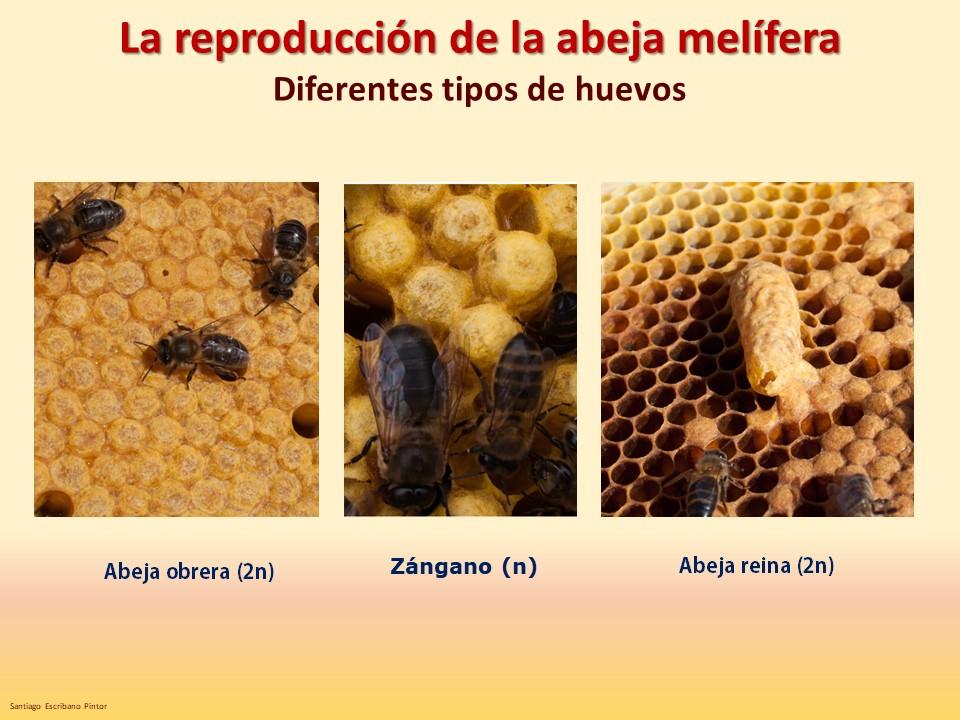 Diferentes tipos de puesta Las Obreras de Aliste CB Artesanos de la Miel Aliste Gallegos del Campo Artesanos de la Miel