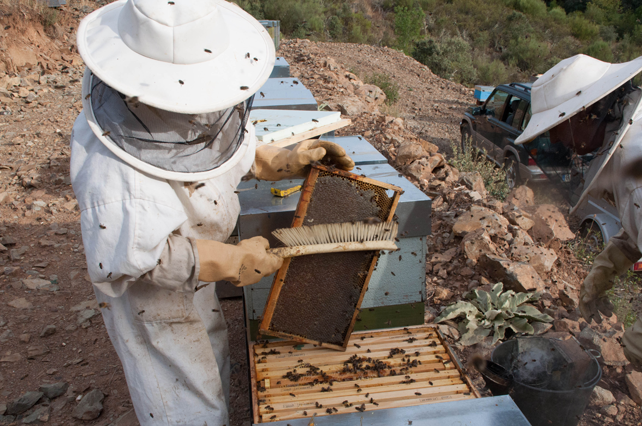 Proceso de desabejado cuidadoso de los cuadros operculados para su posterior traslado a la industria extractora de miel.