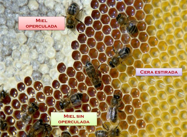Detalle de un cuadro de un panal donde se encuentra miel operculada y sin opercular.