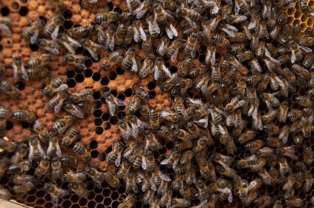 Las colmenas deben tener una gran cantidad de abejas y una buena puesta de huevos y cría.