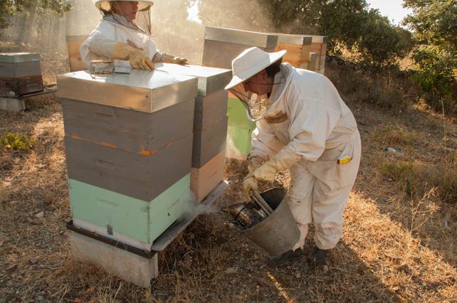 Limitamos en la medida de lo posible el uso del ahumador para evitar el estrés en las abejas.