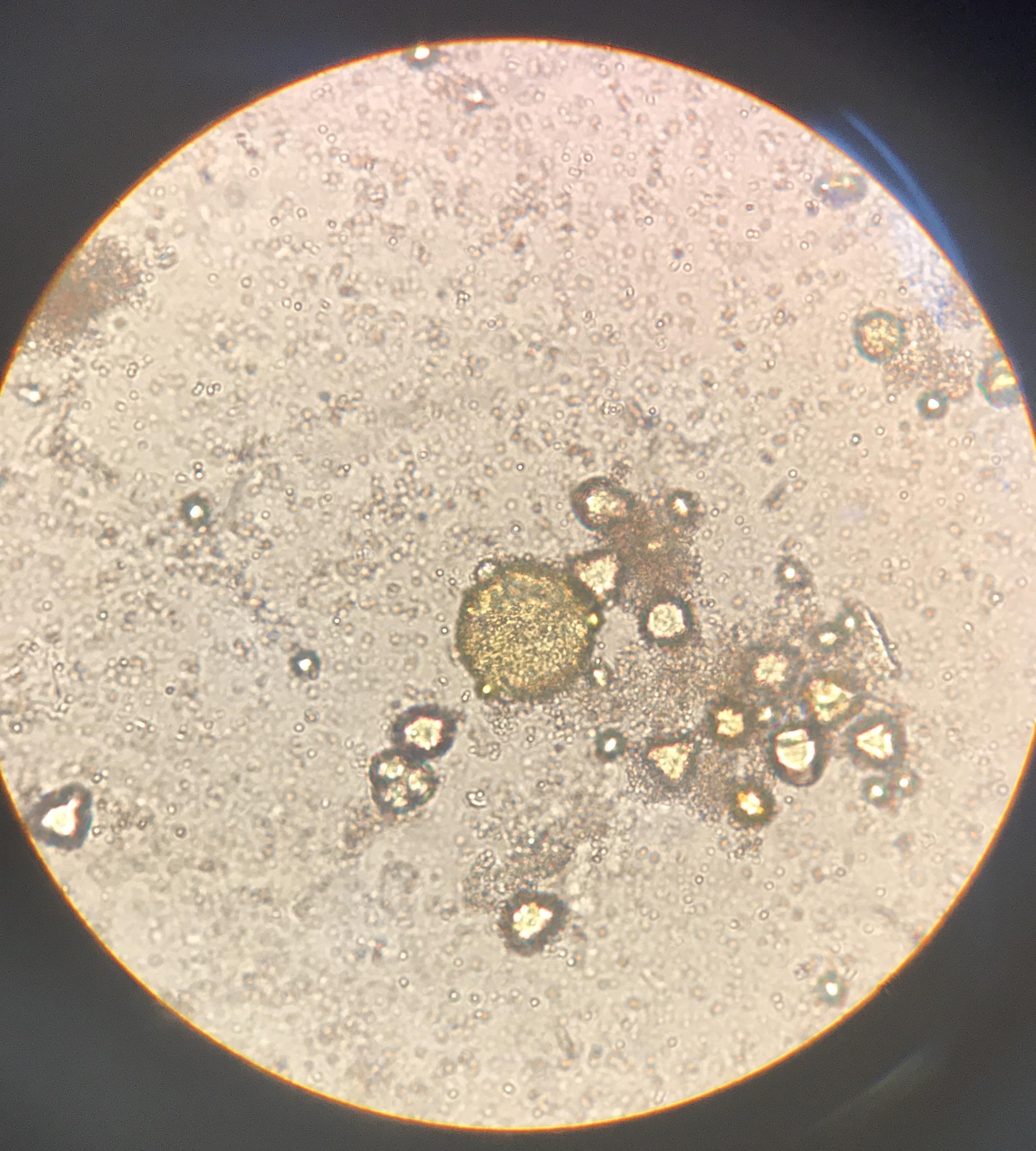 polen Microscopio optico sedimento polínico Las Obreras de Aliste Artesanos de la Miel