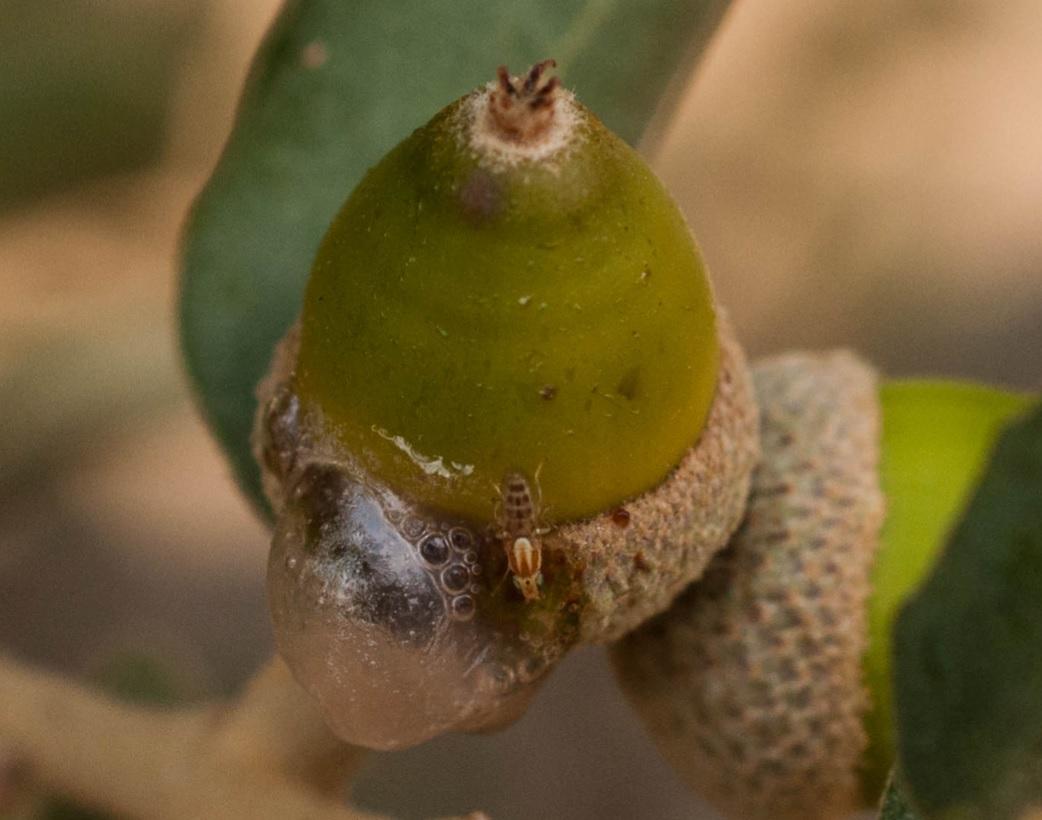 Mielada roble Las Obreras de Aliste Artesanos de la miel honey Spain afido