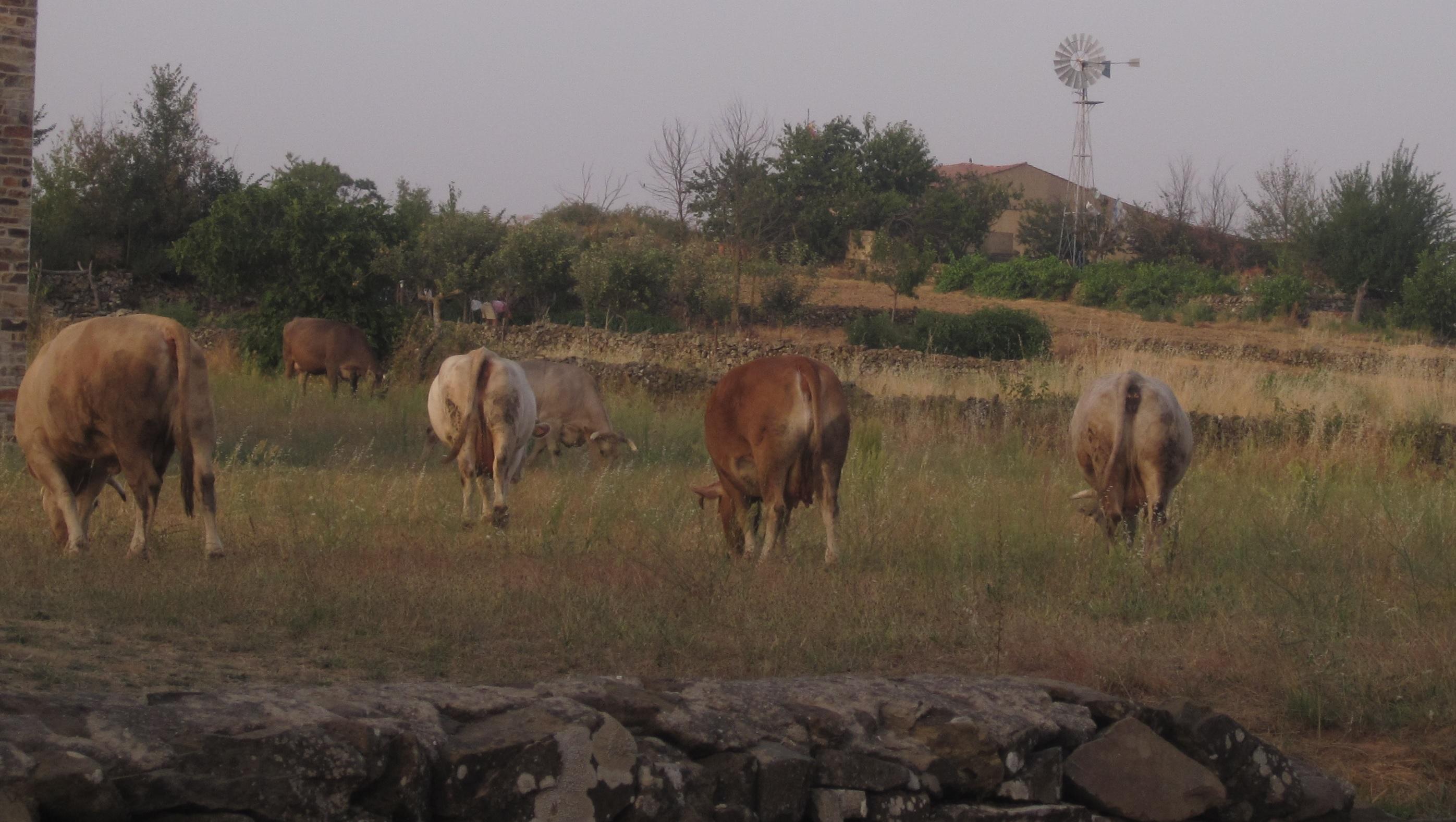 vacas pastiando en Gallegos del Campo Las Obreras de Aliste Artesanos de la Miel