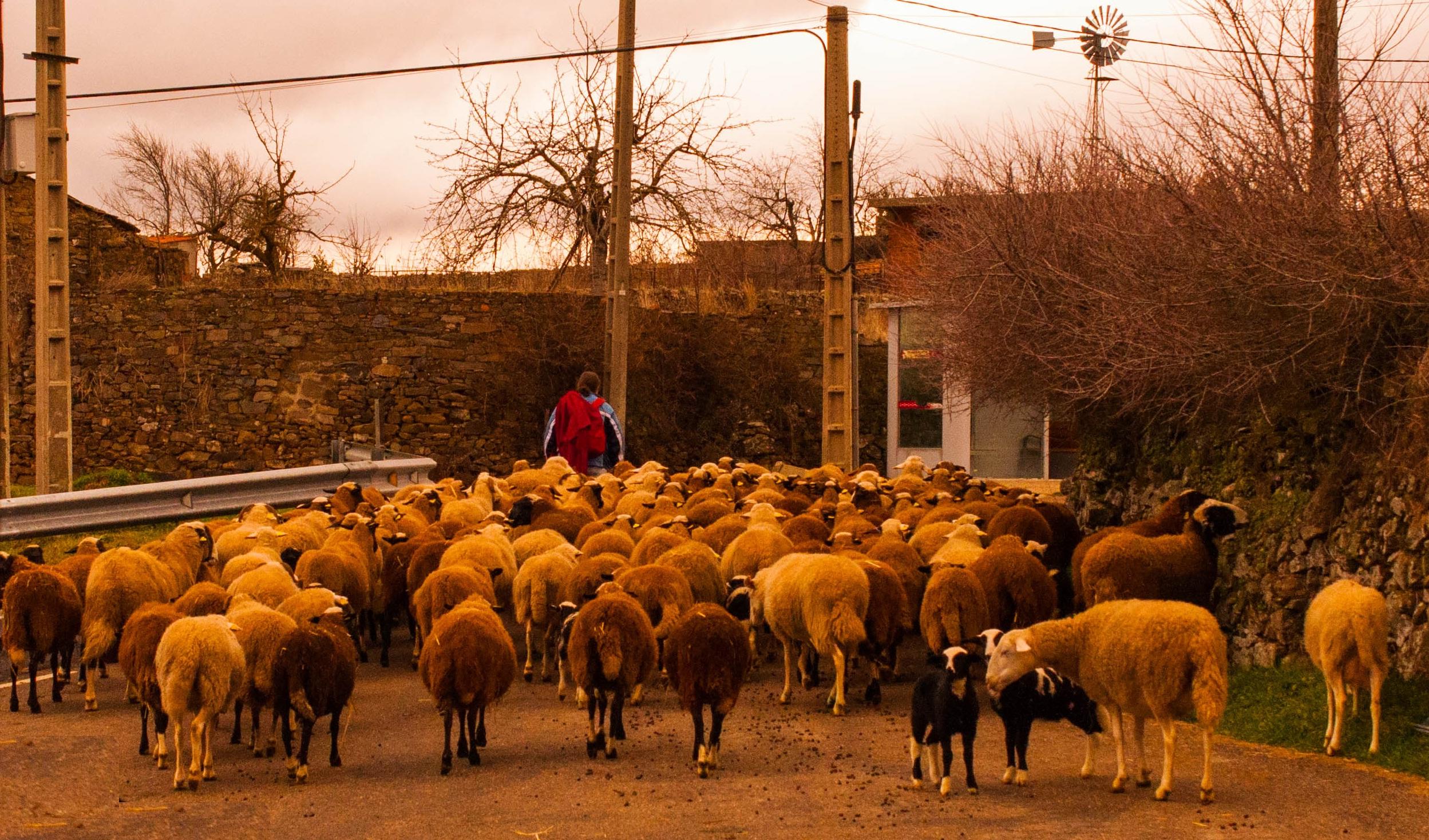Rebaño de ovejas Las Obreras de aliste