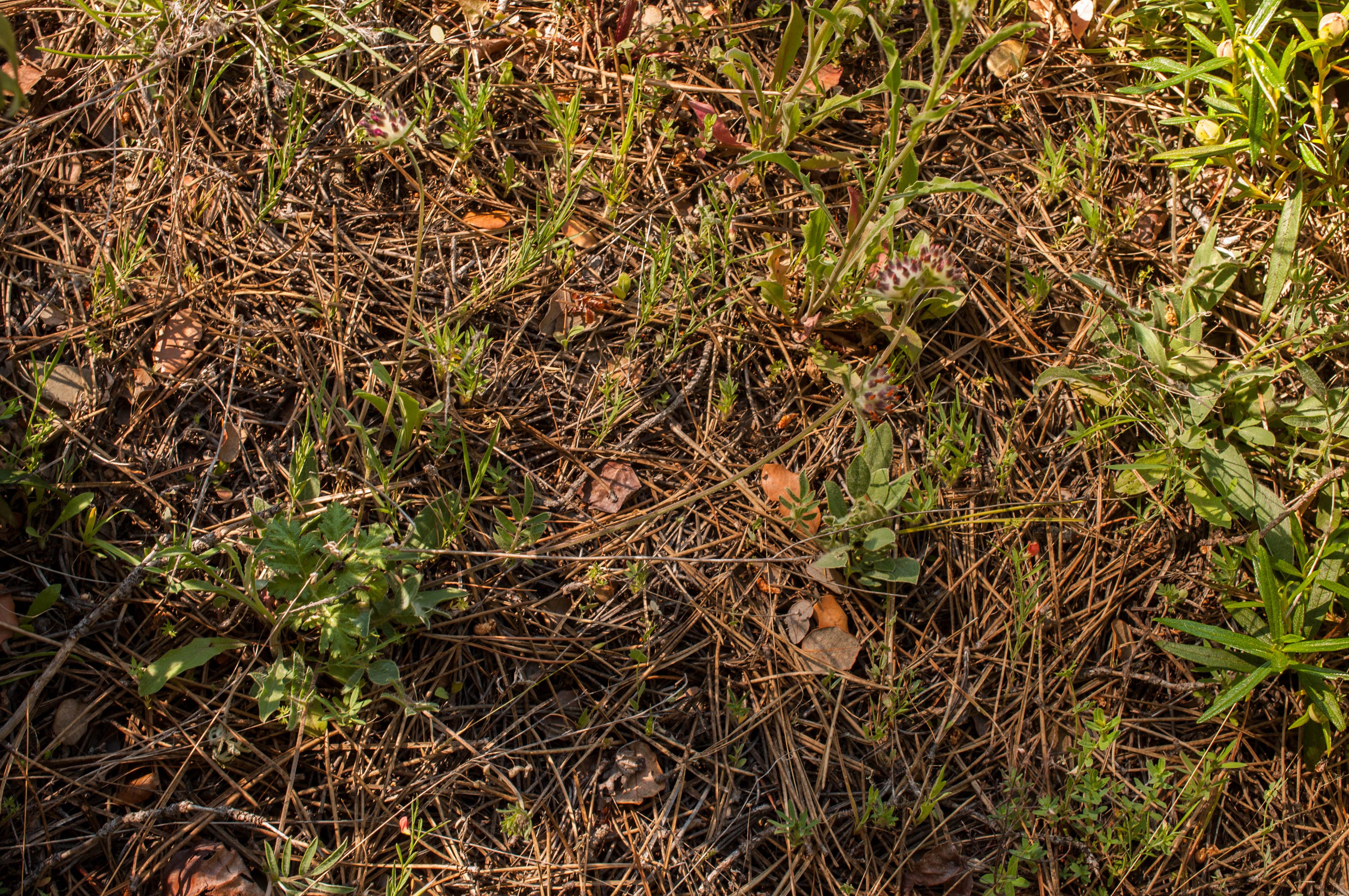 Anthyllis vulneraria Las Obreras de Aliste CB Artesanos de la Miel Aliste Gallegos del Campo Artesanos de la Miel