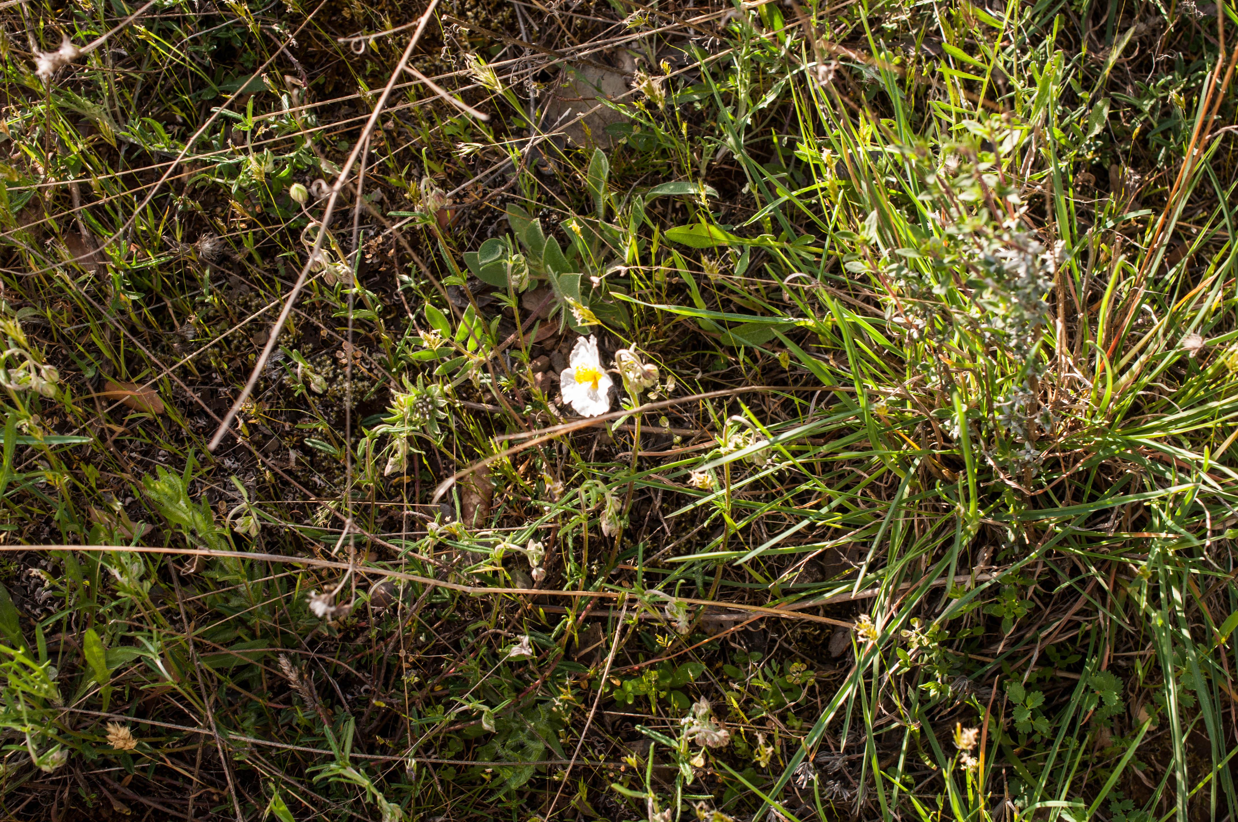 Helianthemum apenninum Las Obreras de Aliste CB Artesanos de la Miel Aliste Gallegos del Campo Artesanos de la Miel
