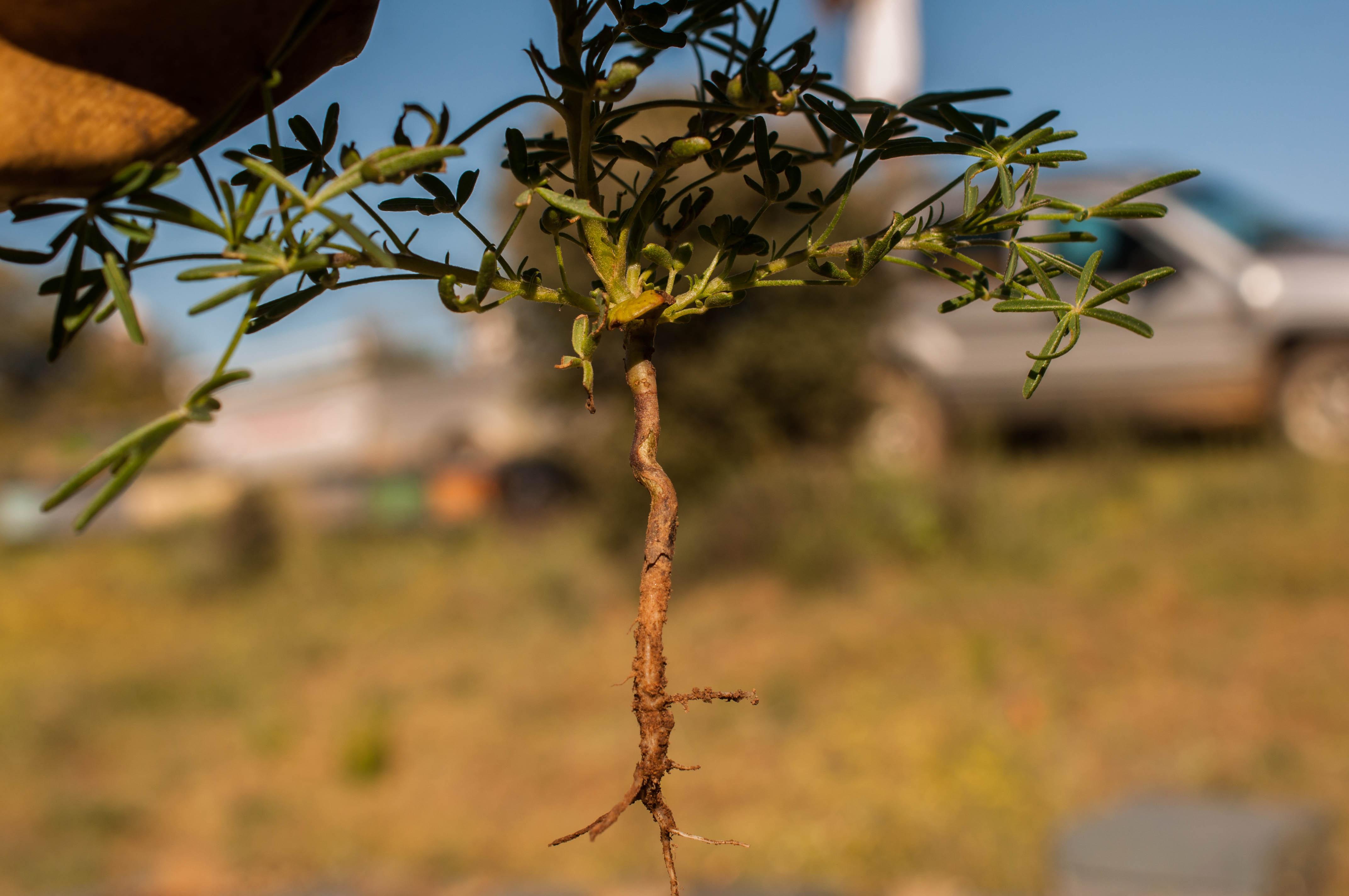 Lupinus angustifolius Las Obreras de Aliste CB Artesanos de la Miel Aliste Gallegos del Campo Artesanos de la Miel