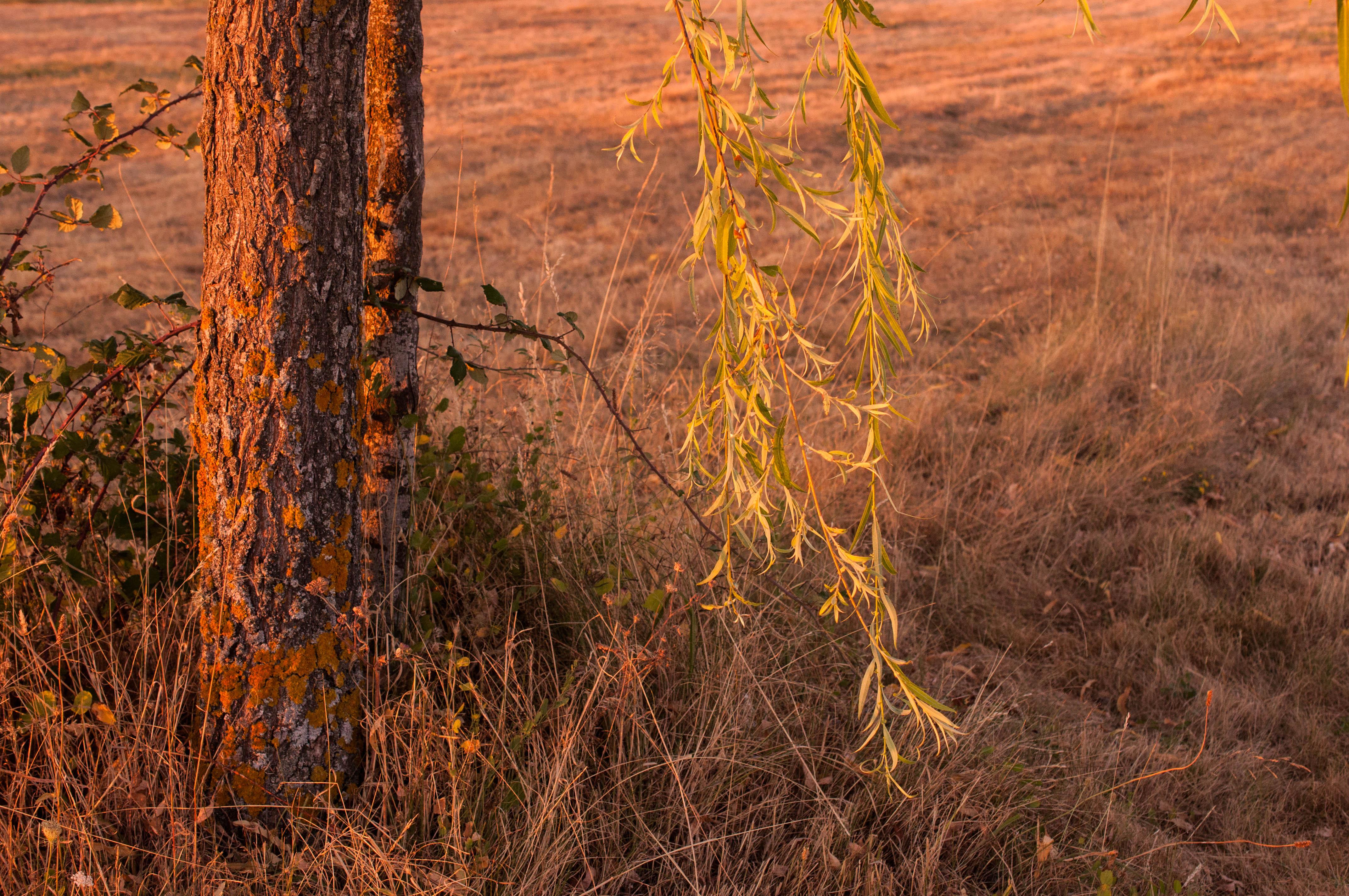 Salix babilonica Las Obreras de Aliste CB Artesanos de la Miel Aliste Gallegos del Campo Artesanos de la Miel