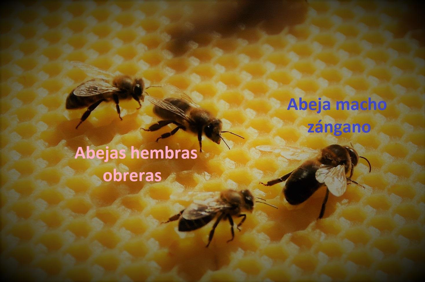 zánganos y obreras Las Obreras de Aliste miel