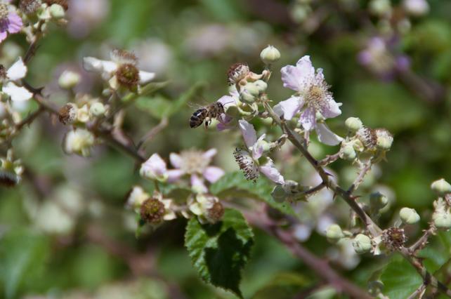 Abejas pecoreando en flores de silva silvestres dispuestas en las lindes y caminos de nuestra localidad.
