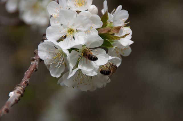 Abejas pecoreando flores de cerezo en los huertos próximos a Gallegos del Campo.