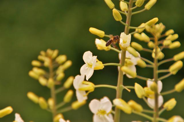 Abejas libando en flores de nabo silvestres próximas a nuestros apiarios.