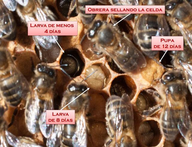 Diferentes estadios en la puesta de huevos en un panal.