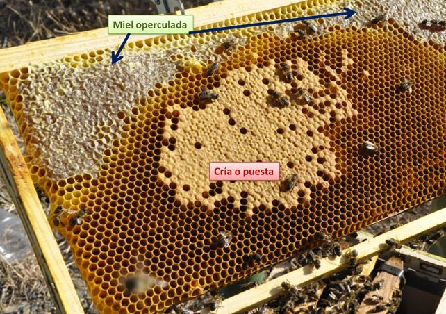 Cuadro donde se puede apreciar por un lado miel operculada y en el centro puesta o cría. En ningún caso se debería extraer miel de este tipo de cuadros.