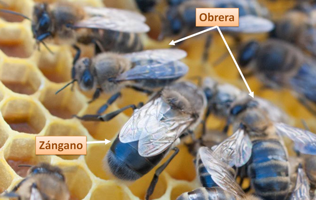 Diferencia morfológica apreciable entre zángano y obreras.
