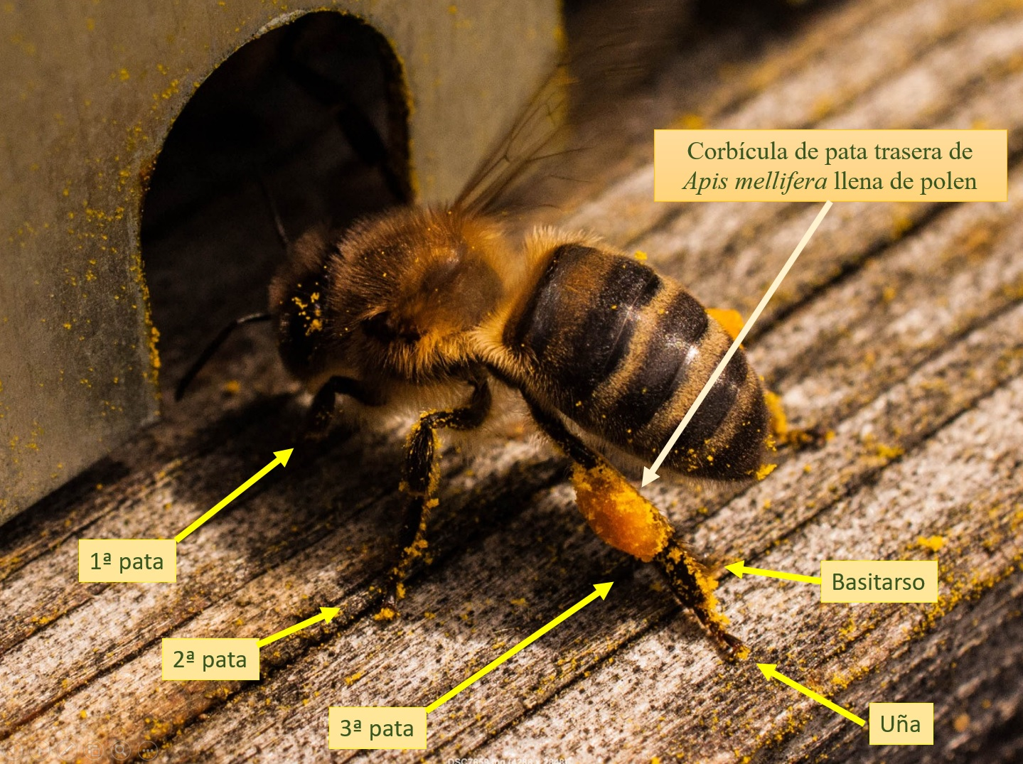 abeja con polen Pata trasera abeja Las Obreras de Aliste CB Artesanos de la Miel Aliste Gallegos del Campo Artesanos de la Miel