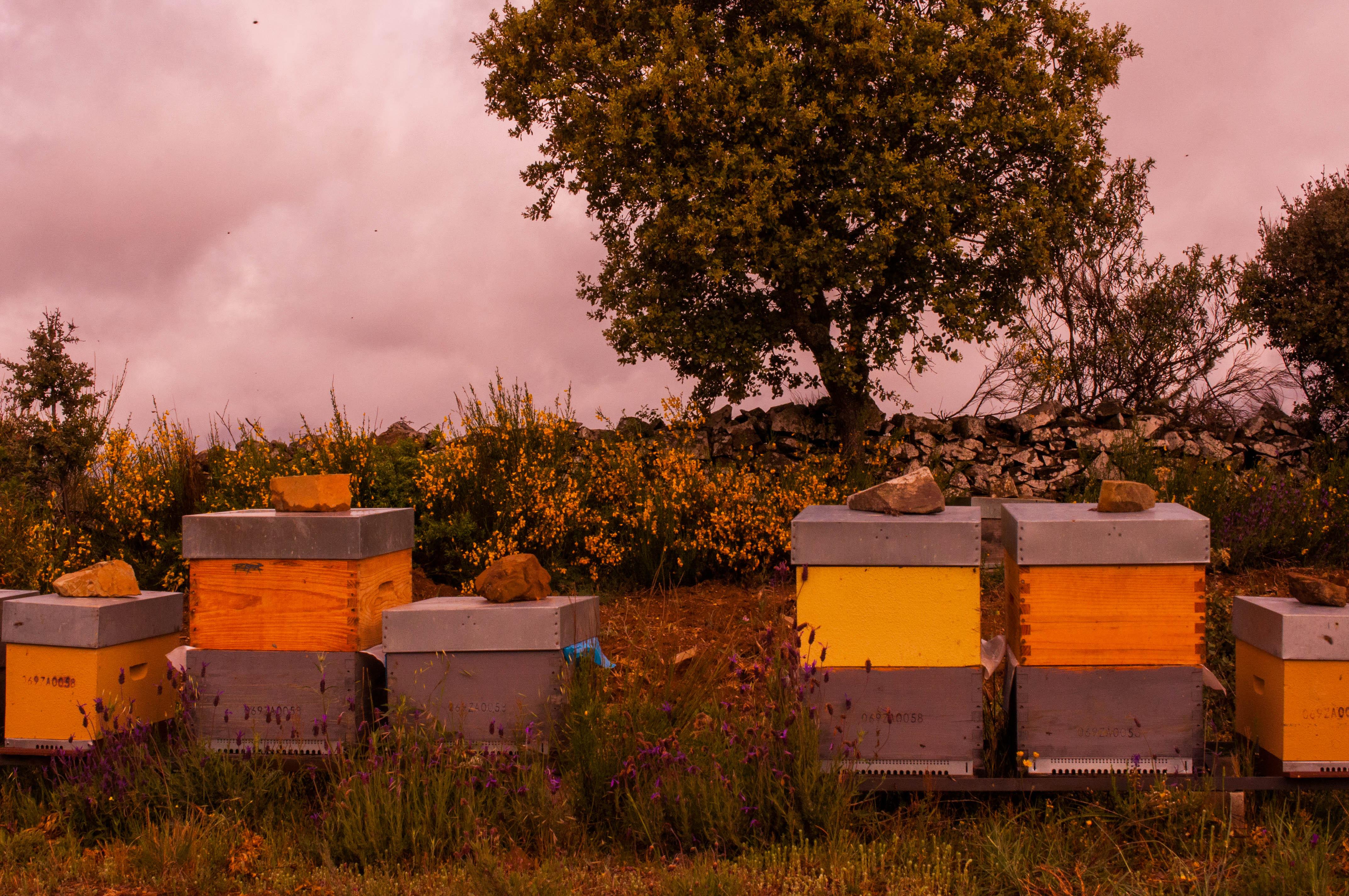 abejas con polen polen en panal Las Obreras de Aliste Artesanos de la Miel