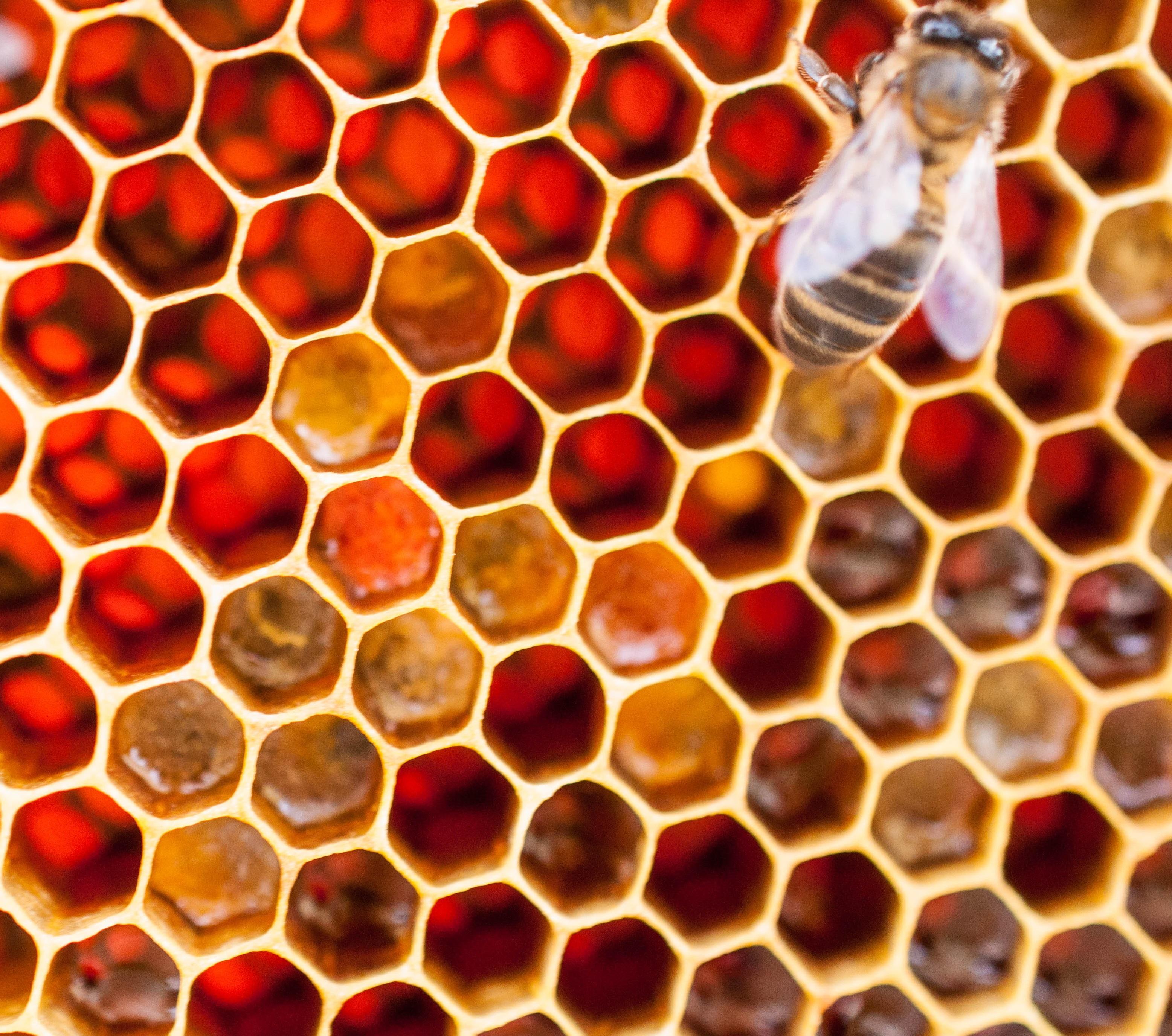 polen en panal Las Obreras de Aliste Artesanos de la Miel