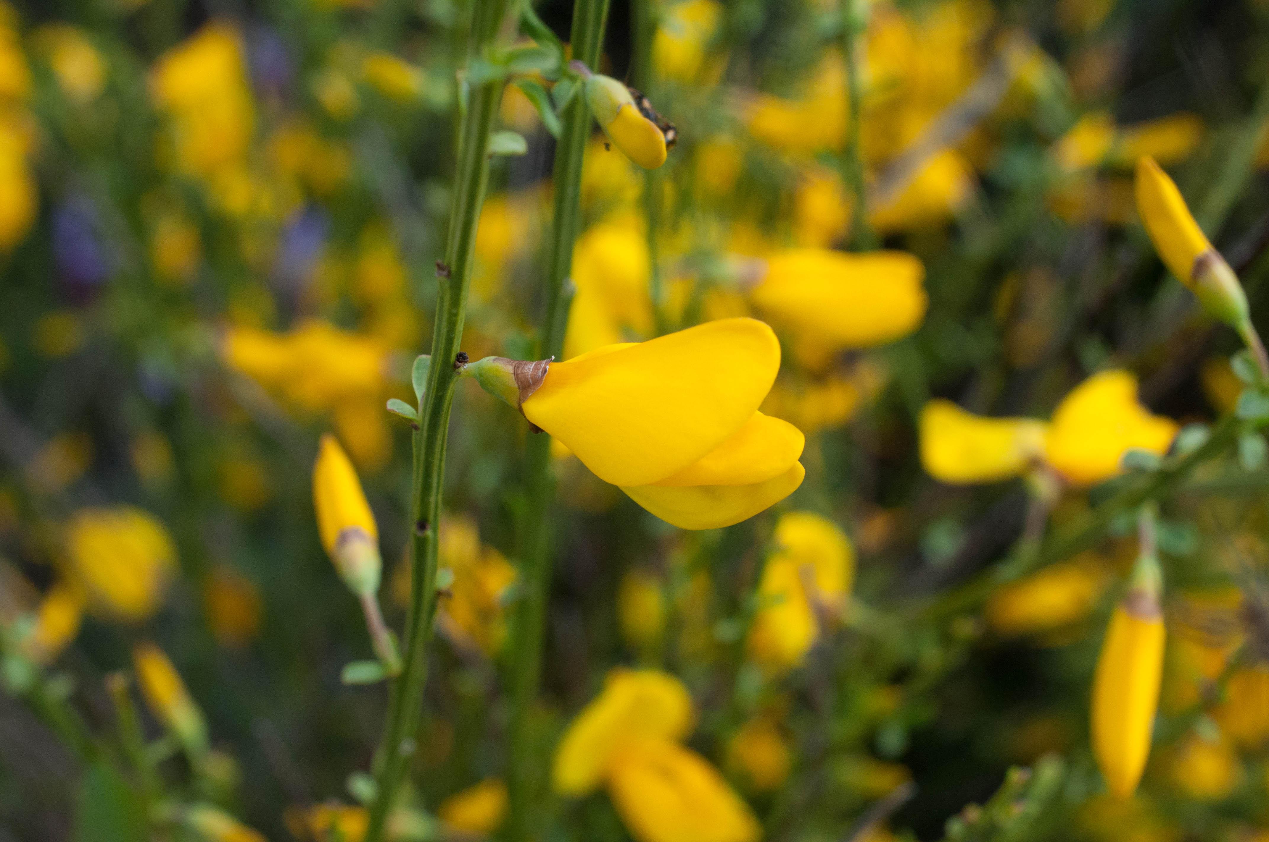 Detalle de flor de retama de escobas en Gallegos del Campo Aliste