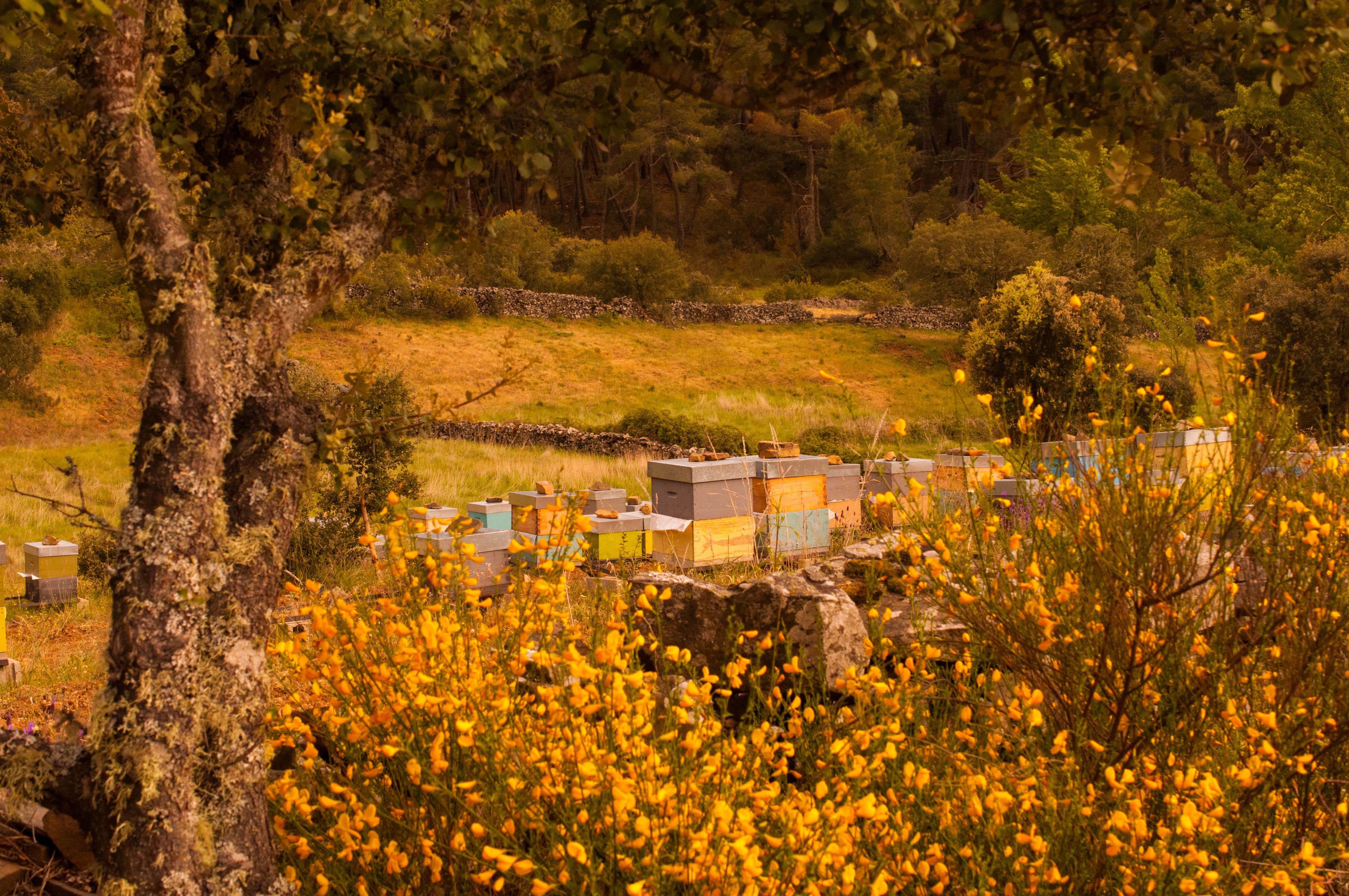 Apiario rodeado de retama de escobas en Gallegos del Campo Aliste