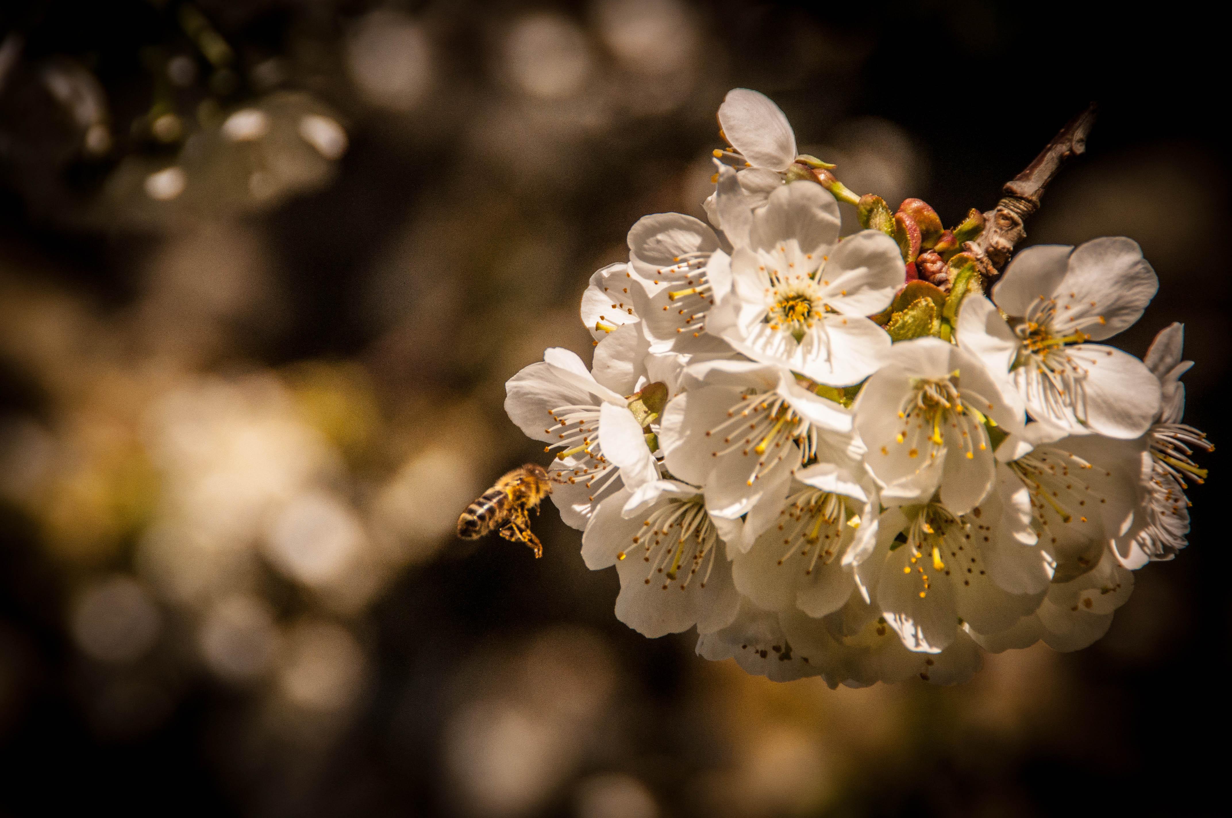 polinización de cerezo Las Obreras de Aliste