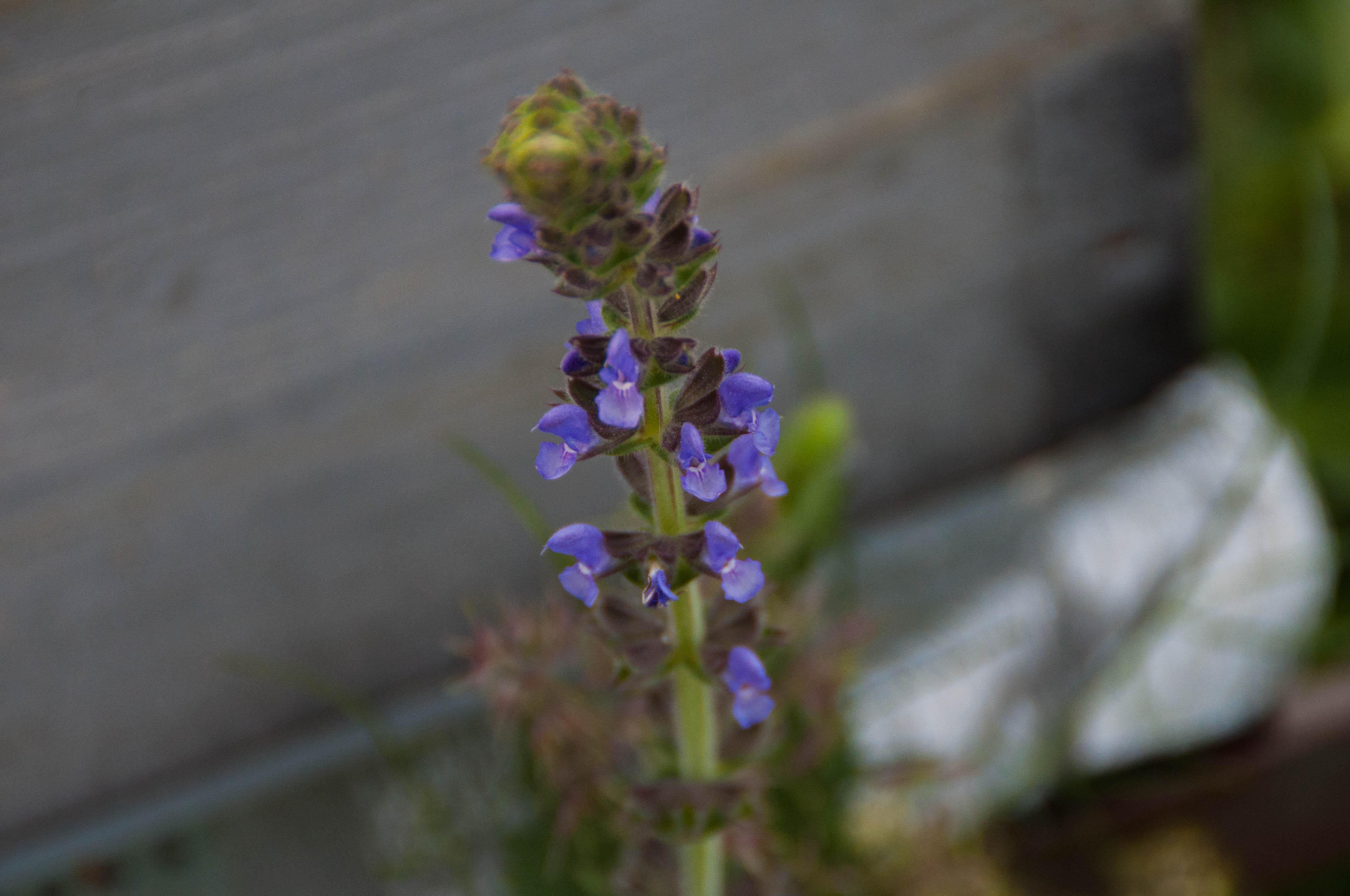 flor Salvia Las obreras de Aliste Artesanos de la miel zamora spain