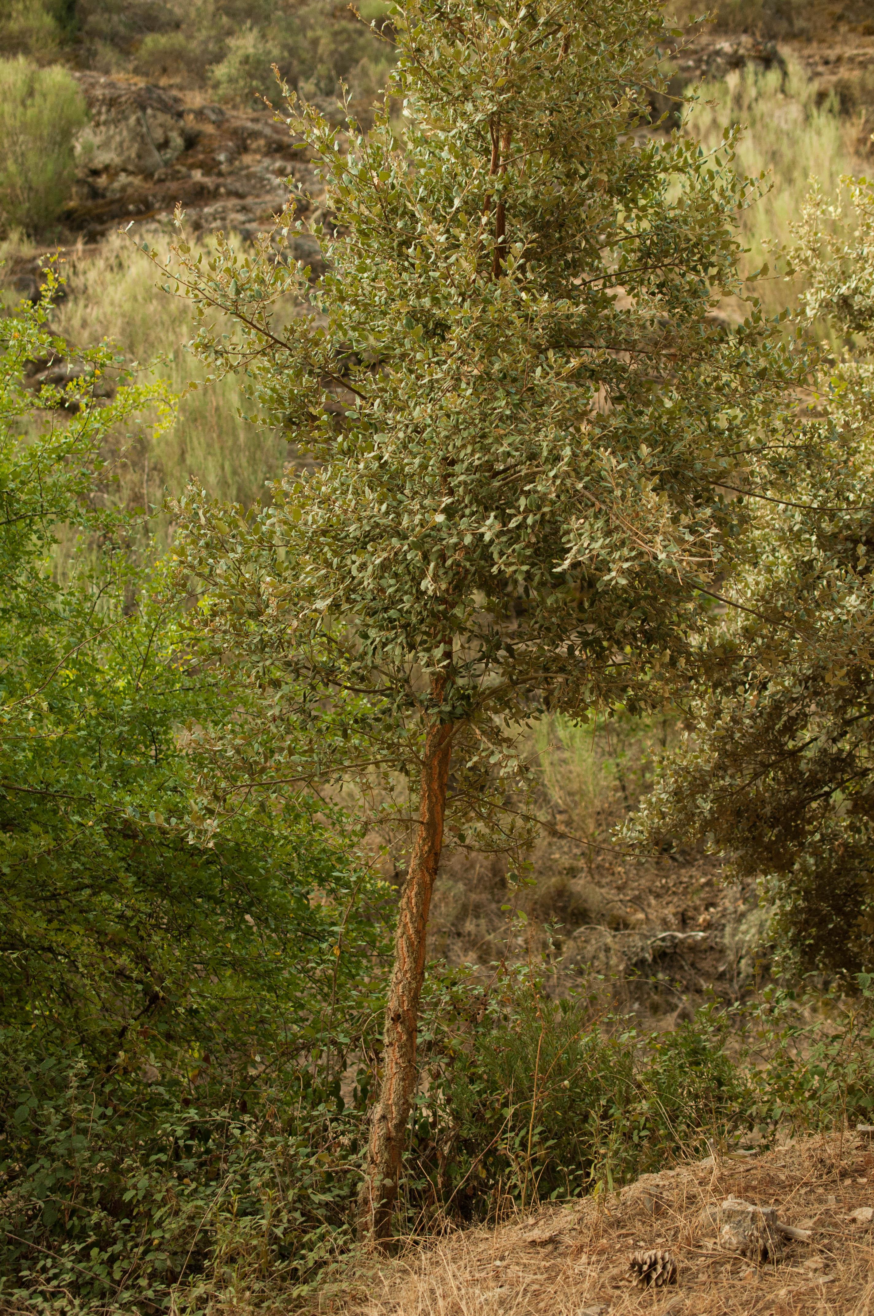 Quercus suber Las Obreras de Aliste