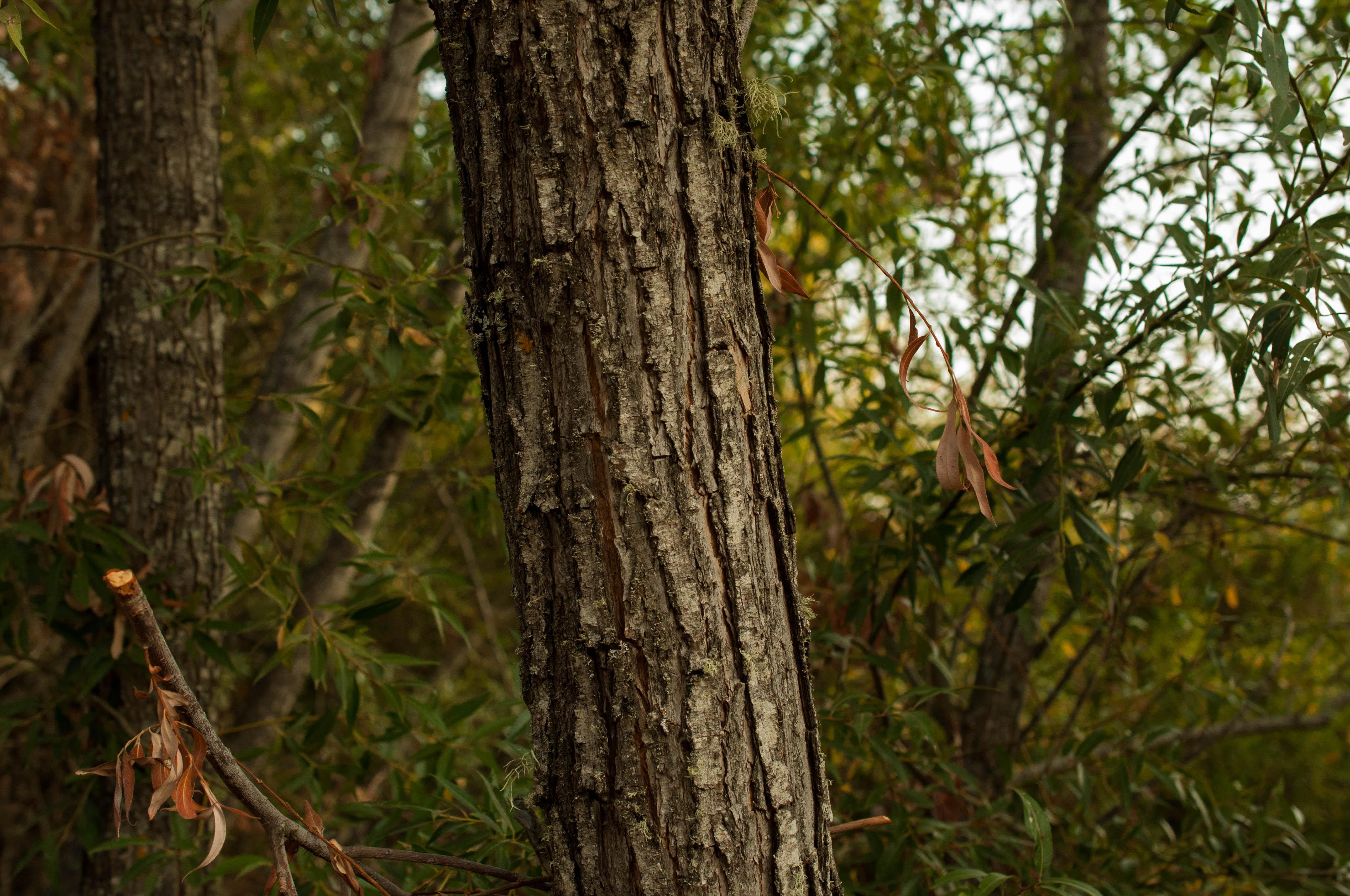 Salix Mimbrera Las Obreras de Aliste