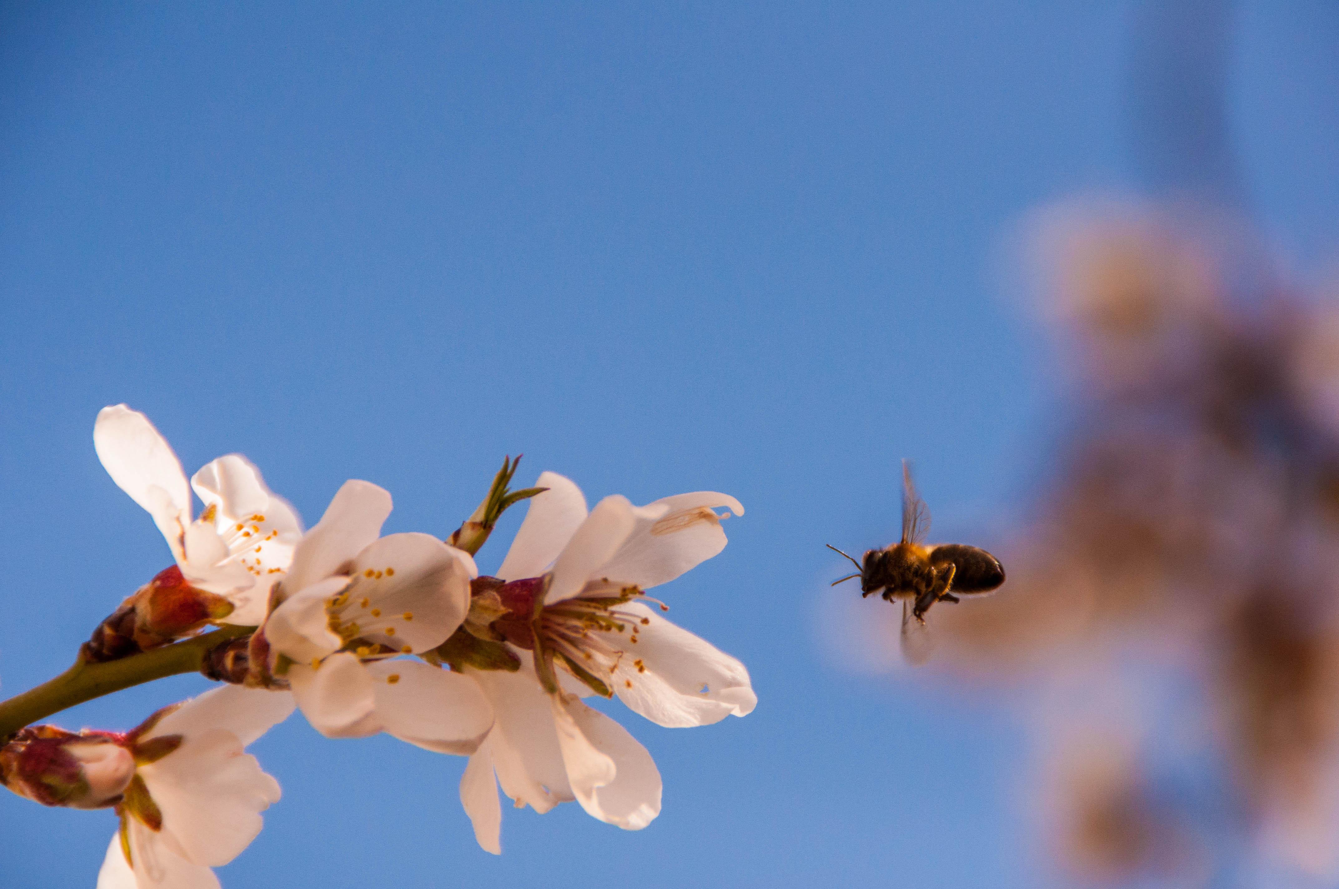 almendro Las Obreras de Aliste Artesanos de la Miel Zamora apicultura