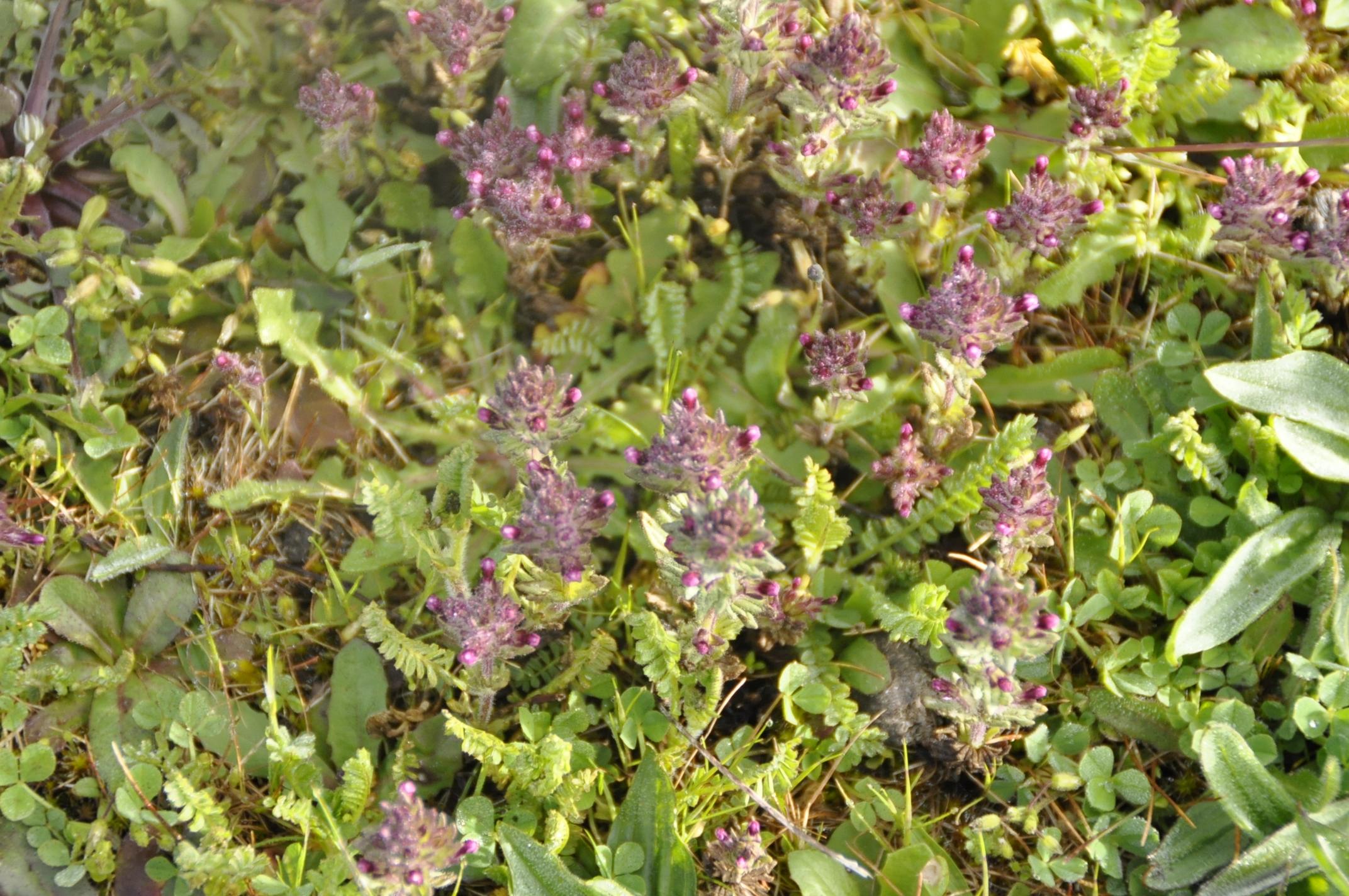 Parentucellia latifolia Las Obreras de Aliste CB Artesanos de la Miel Aliste Gallegos del Campo Artesanos de la Miel