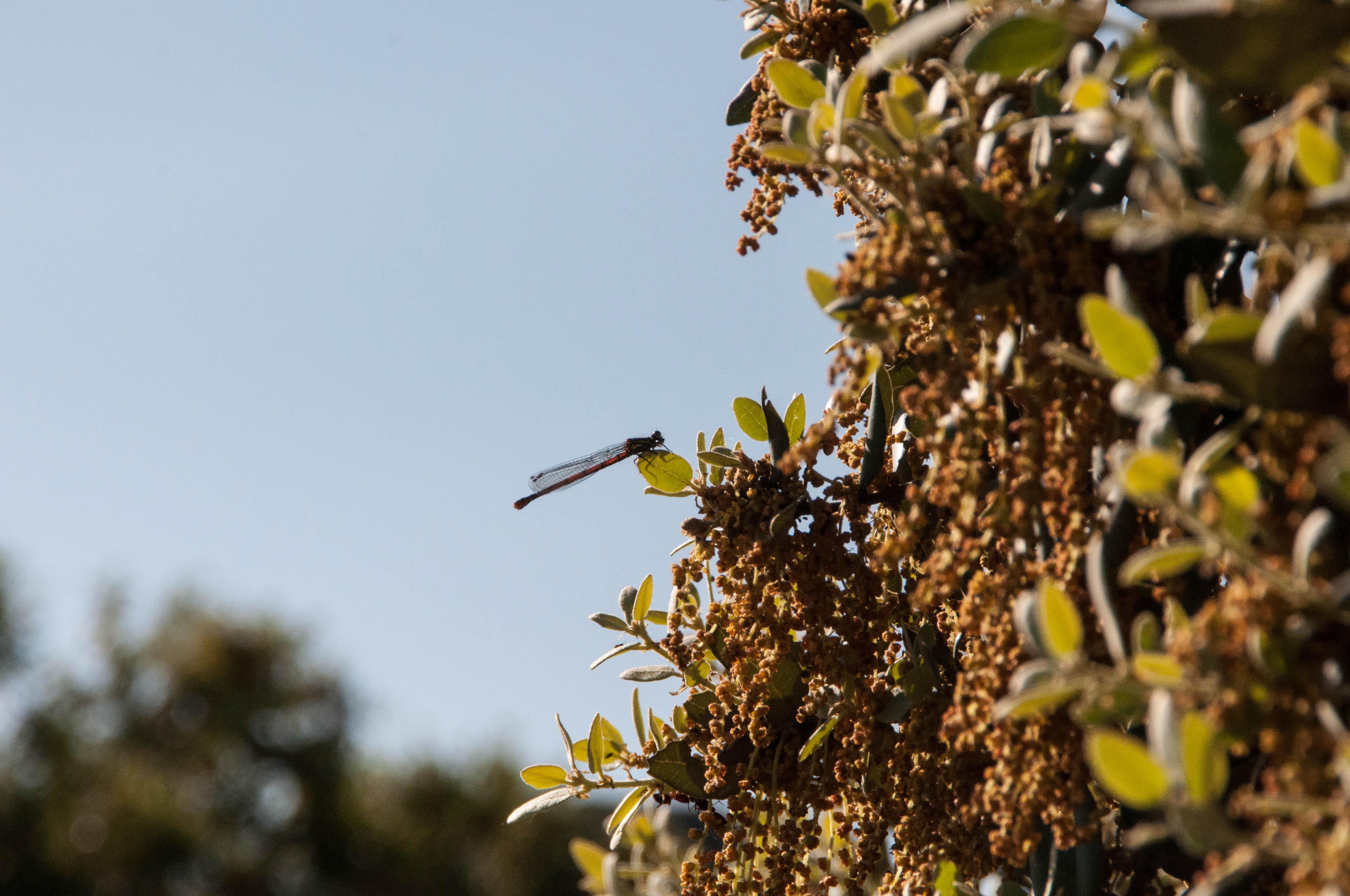 Flor de encina y libélula