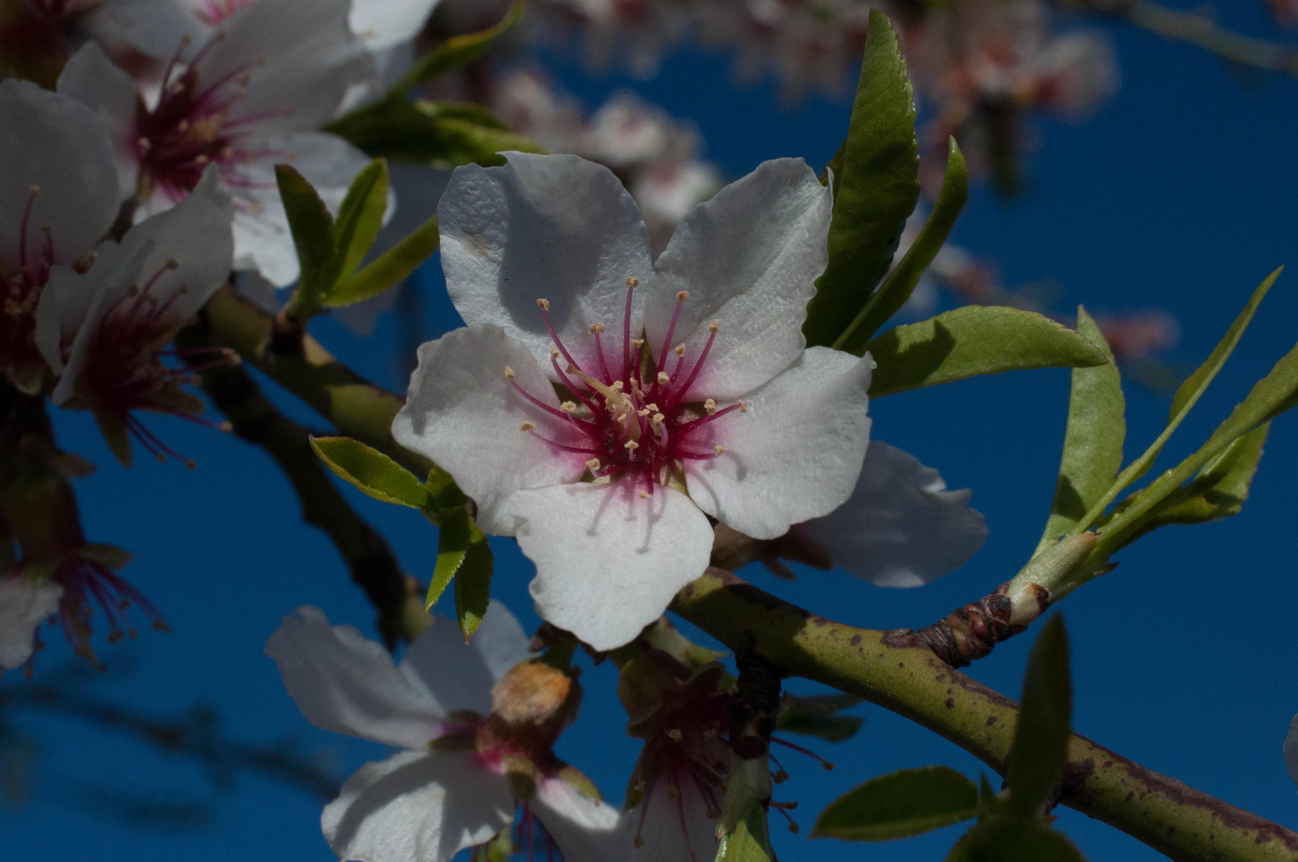 Prunus dulcis almendro Las Obreras de Aliste