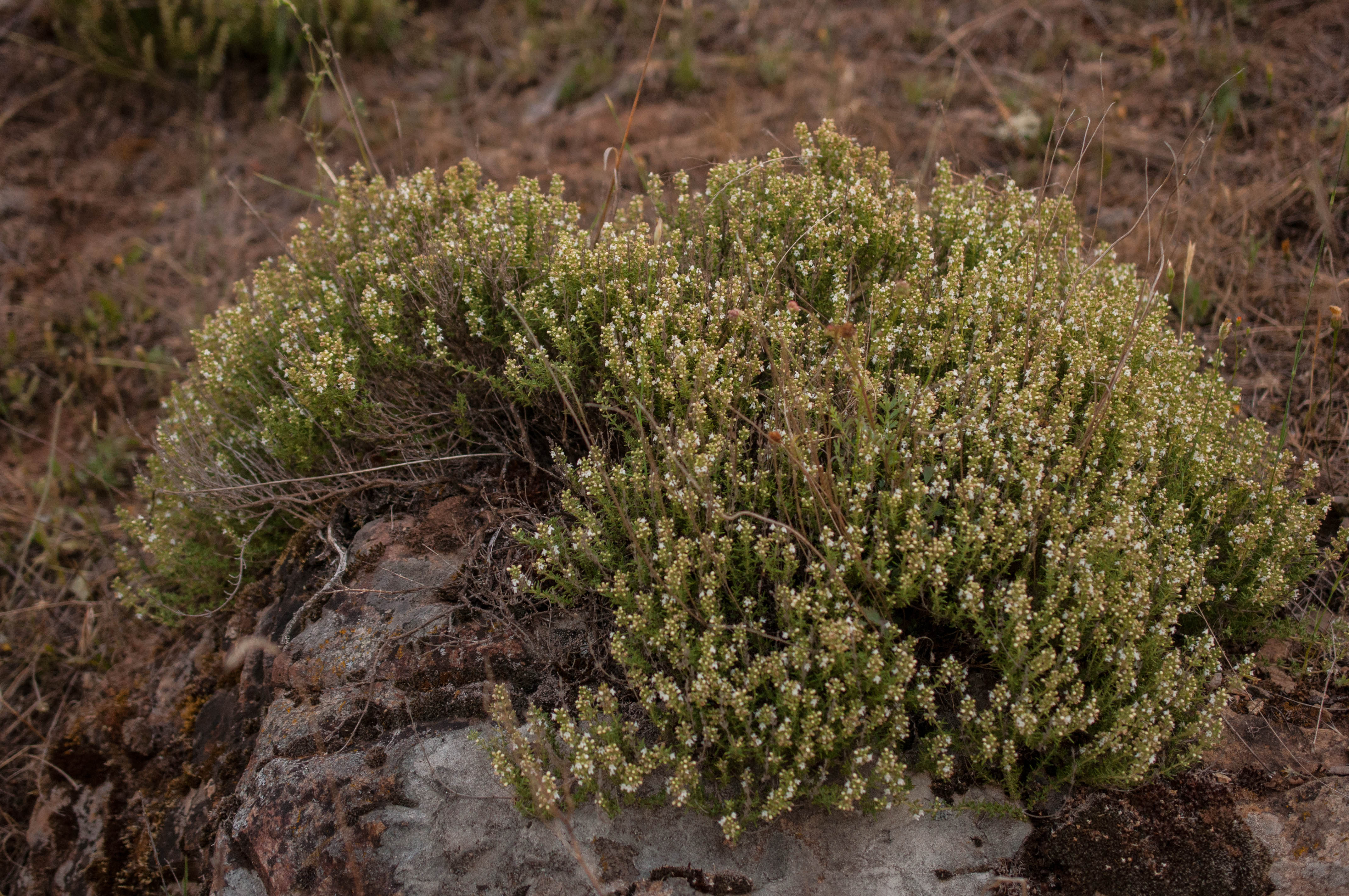 Thymus vulgaris Las Obreras de Aliste