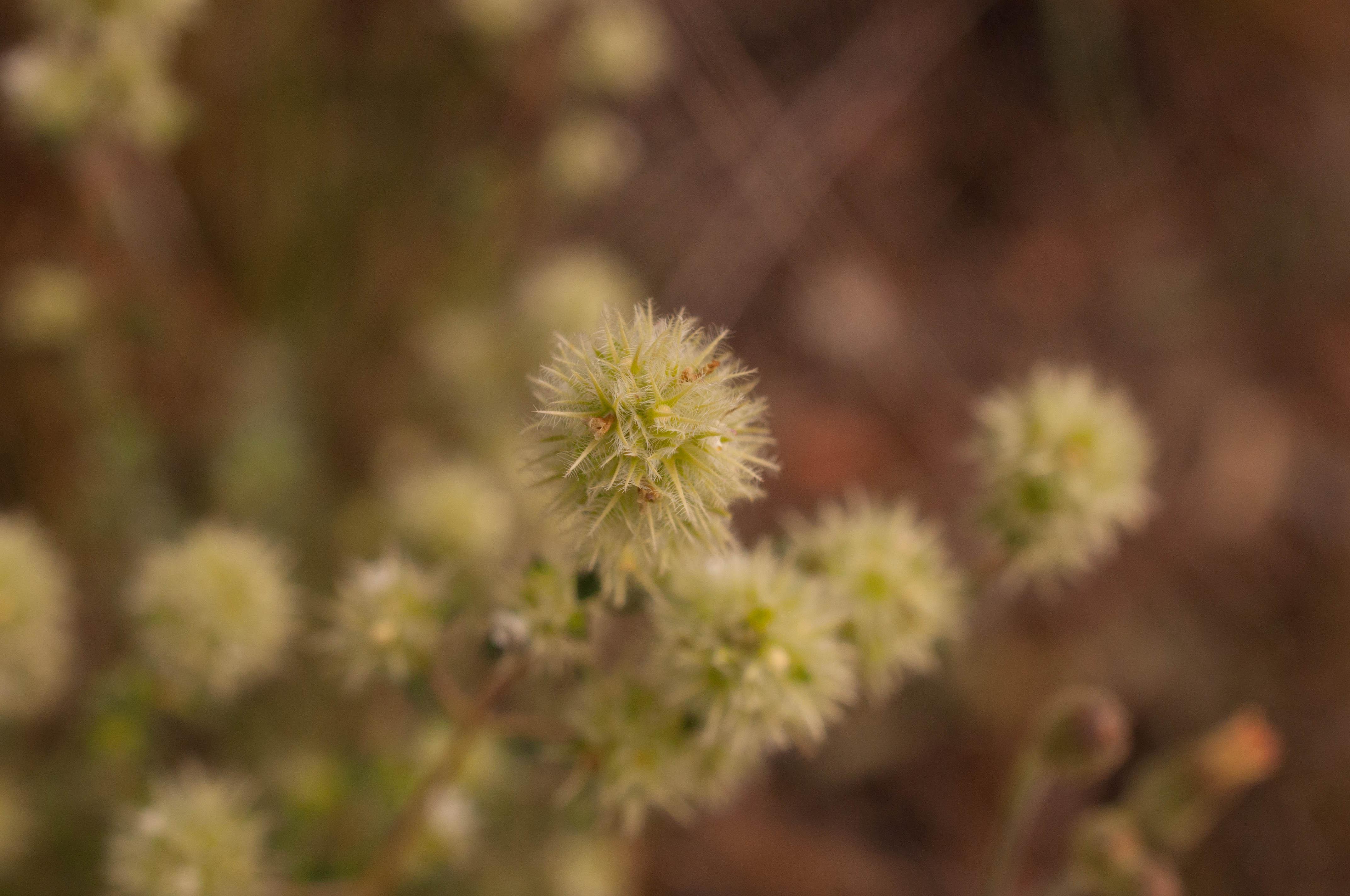 Thymus mastichina Las Obreras de Aliste