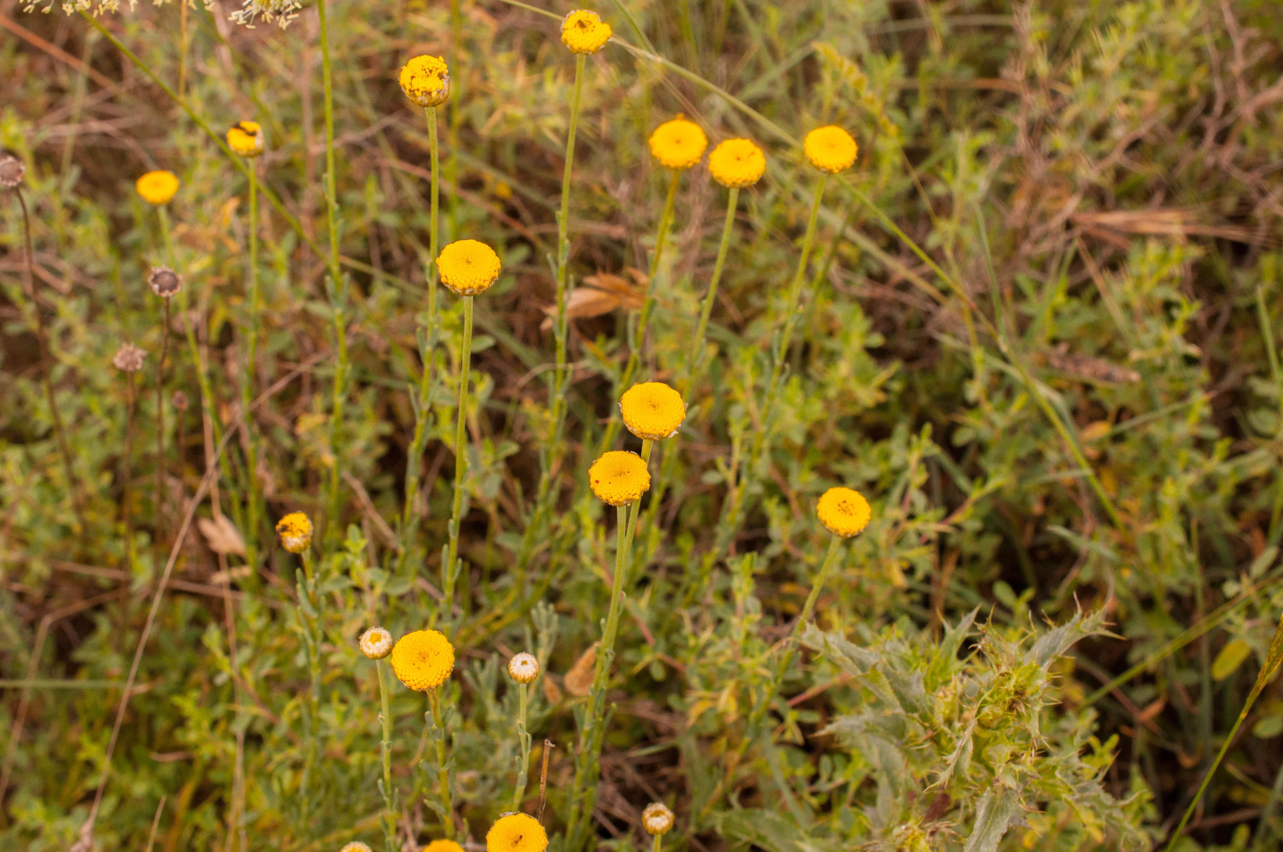 Santolina rosmarinifolia Las Obreras de Aliste CB Artesanos de la Miel Aliste Gallegos del Campo Artesanos de la Miel