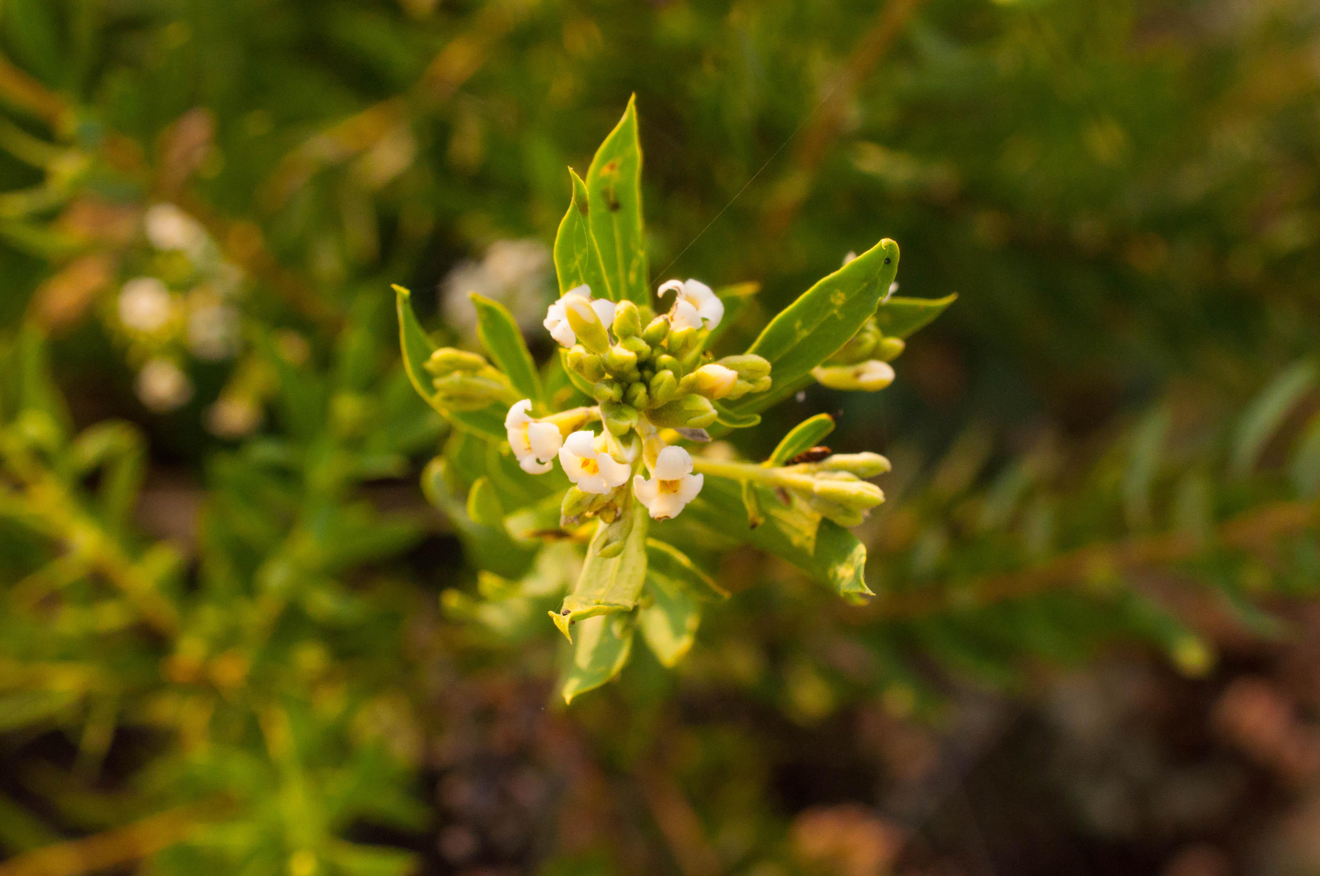 Daphne gnidium Las Obreras de Aliste