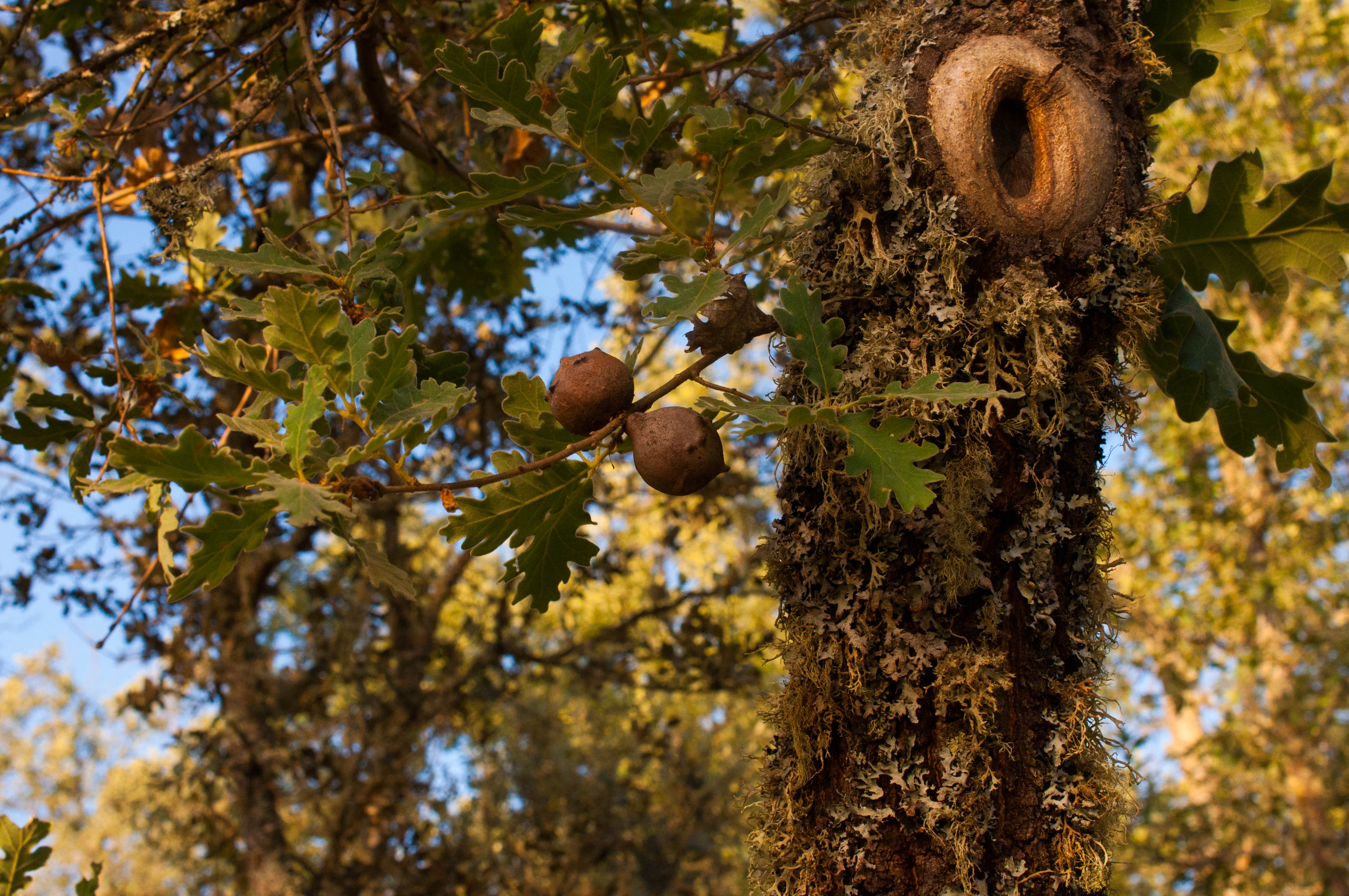 Quercus pyrenaica Las Obreras de Aliste