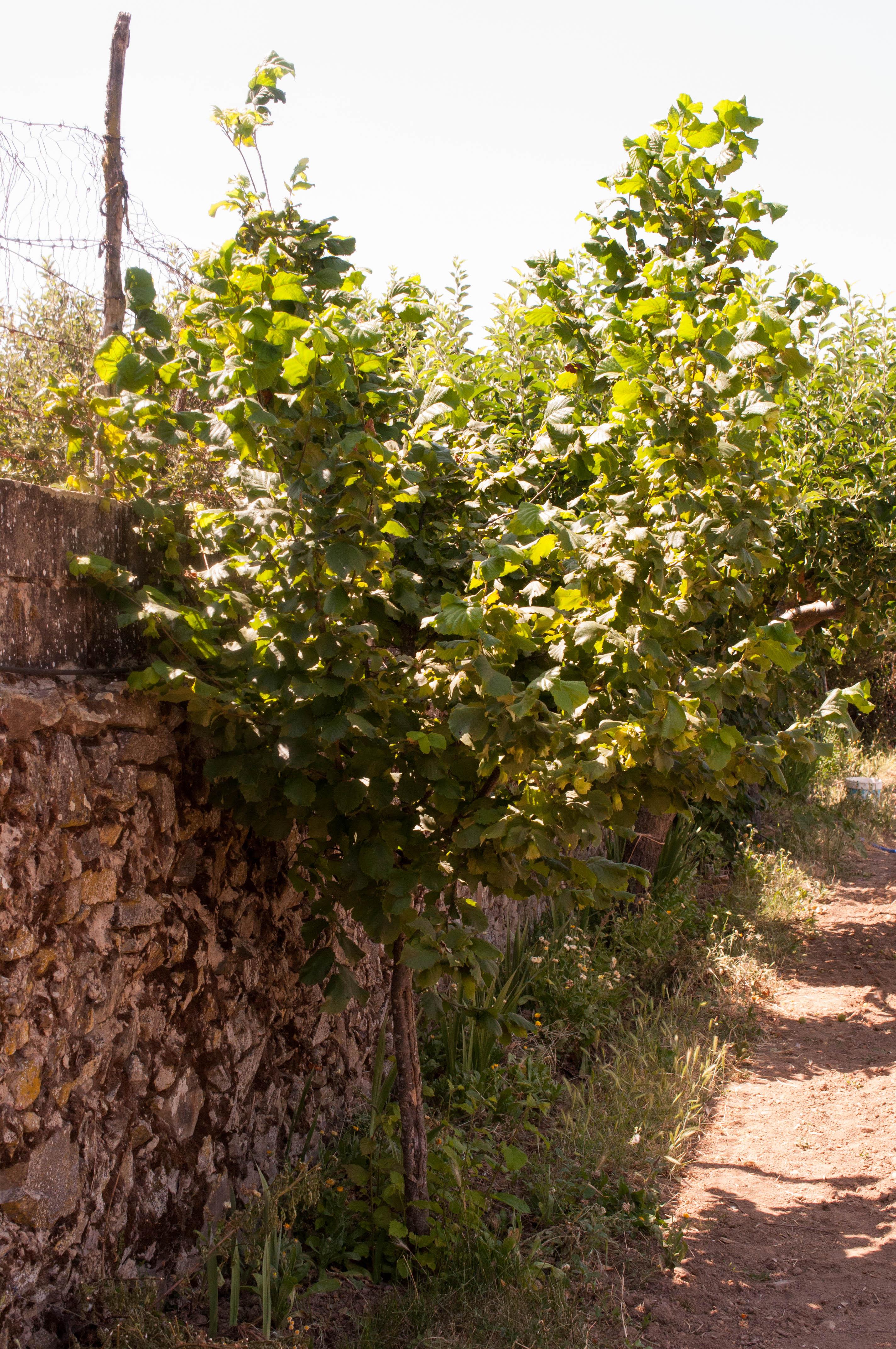 Corylus avellana Las Obreras de Aliste