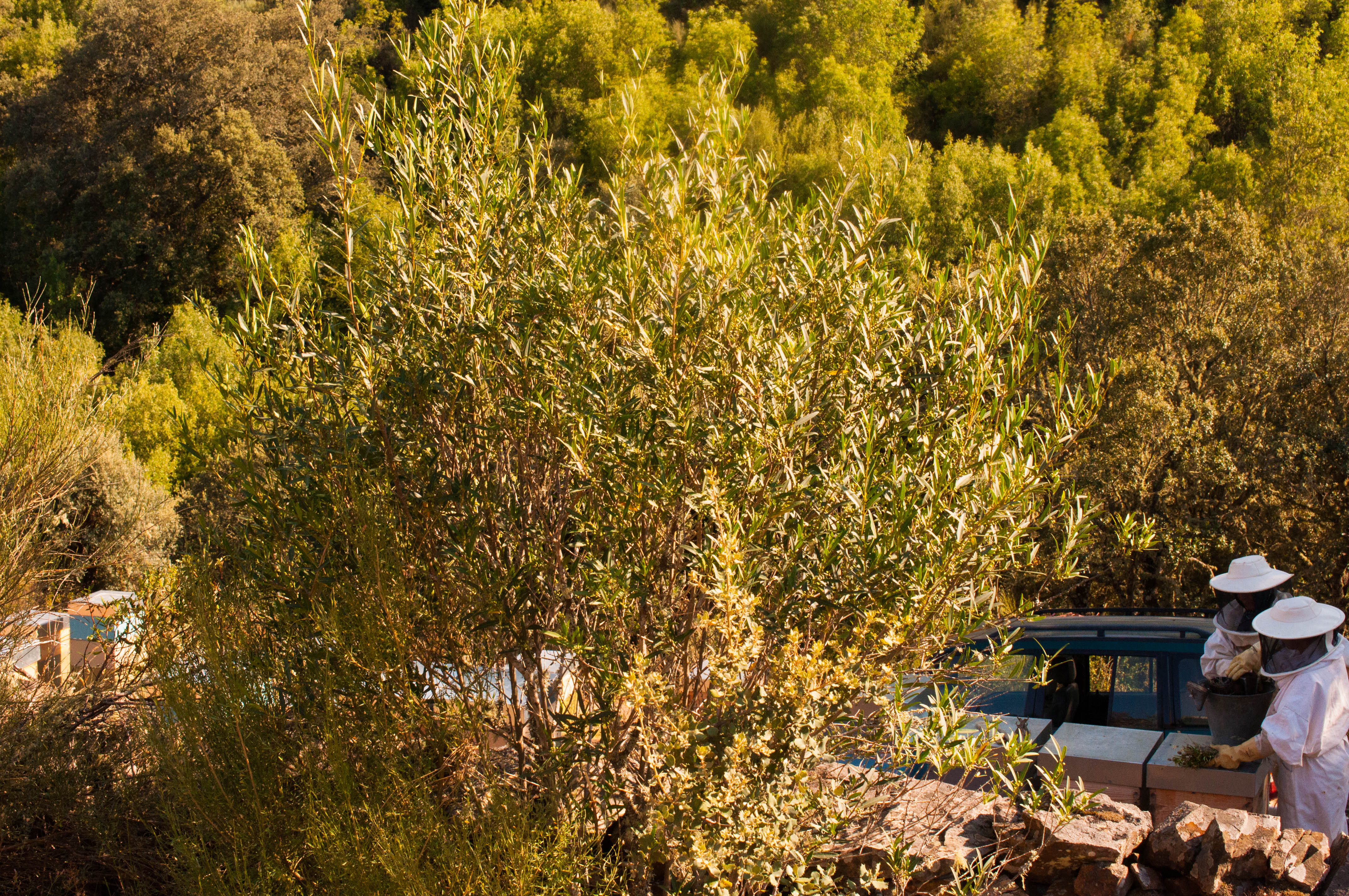 Phillyrea angustifolia Las Obreras de Aliste CB Artesanos de la Miel Aliste Gallegos del Campo Artesanos de la Miel