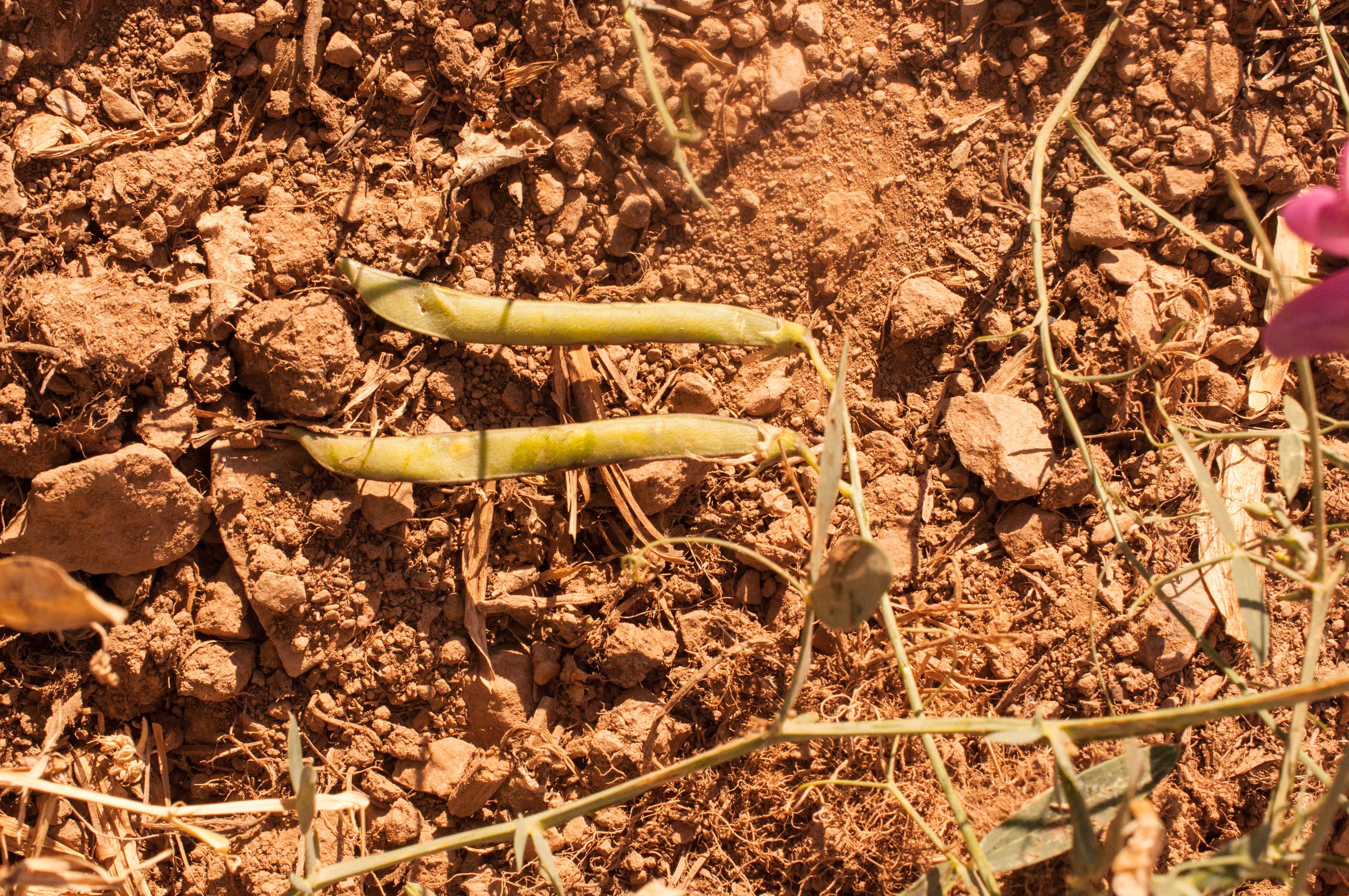 Lathyrus latifolius Las Obreras de Aliste