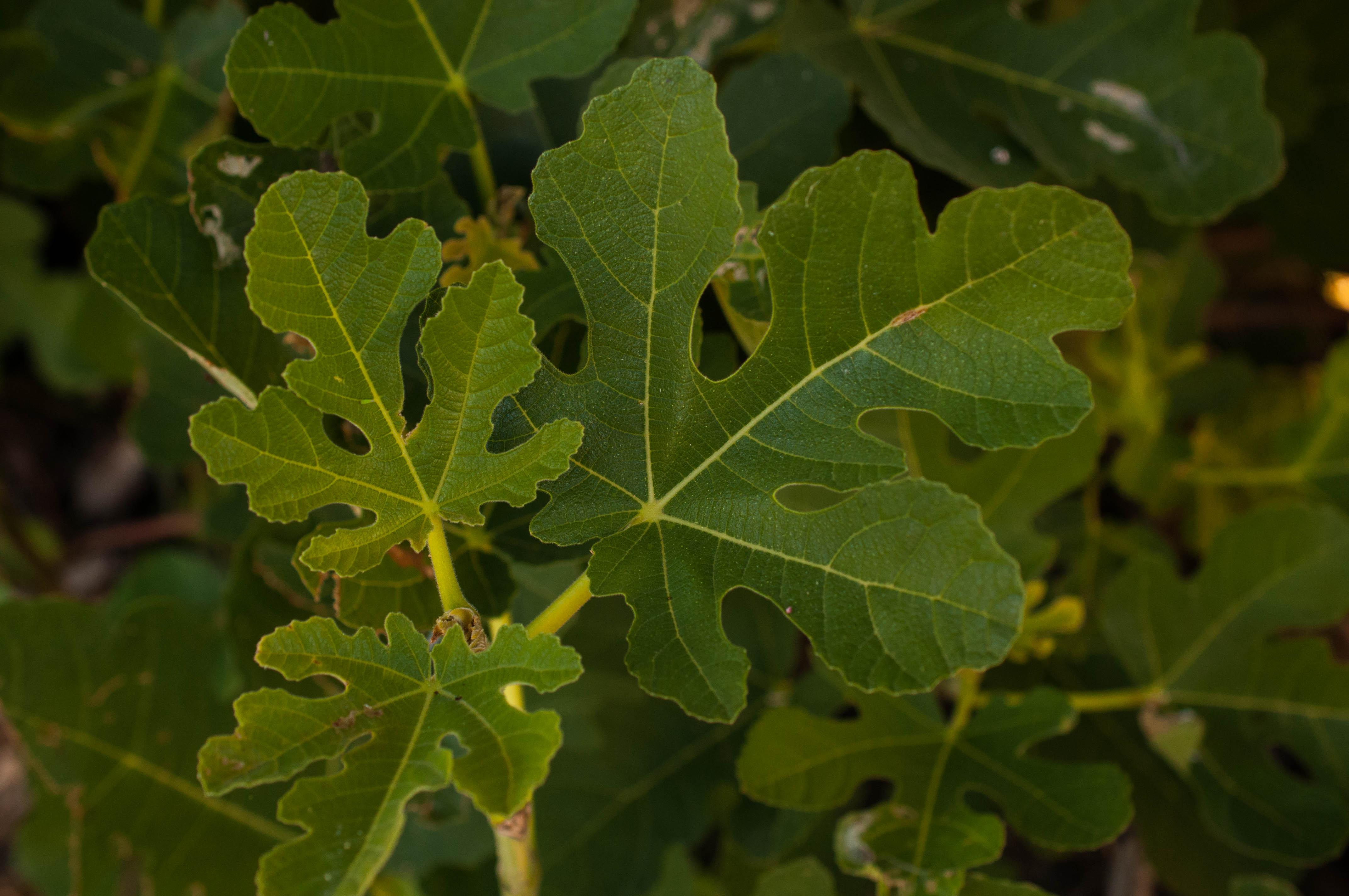 Ficus carica Las Obreras de Aliste