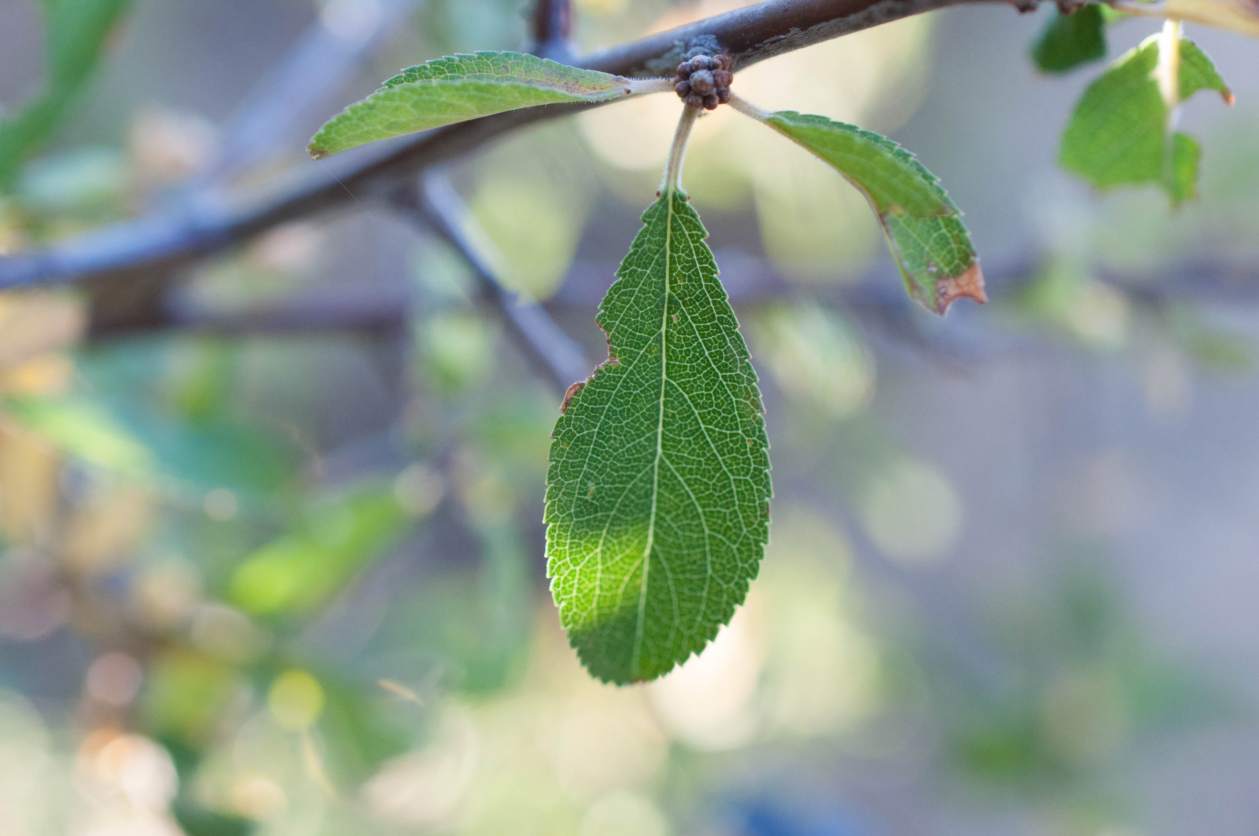 Prunus spinosa Las Obreras de Aliste