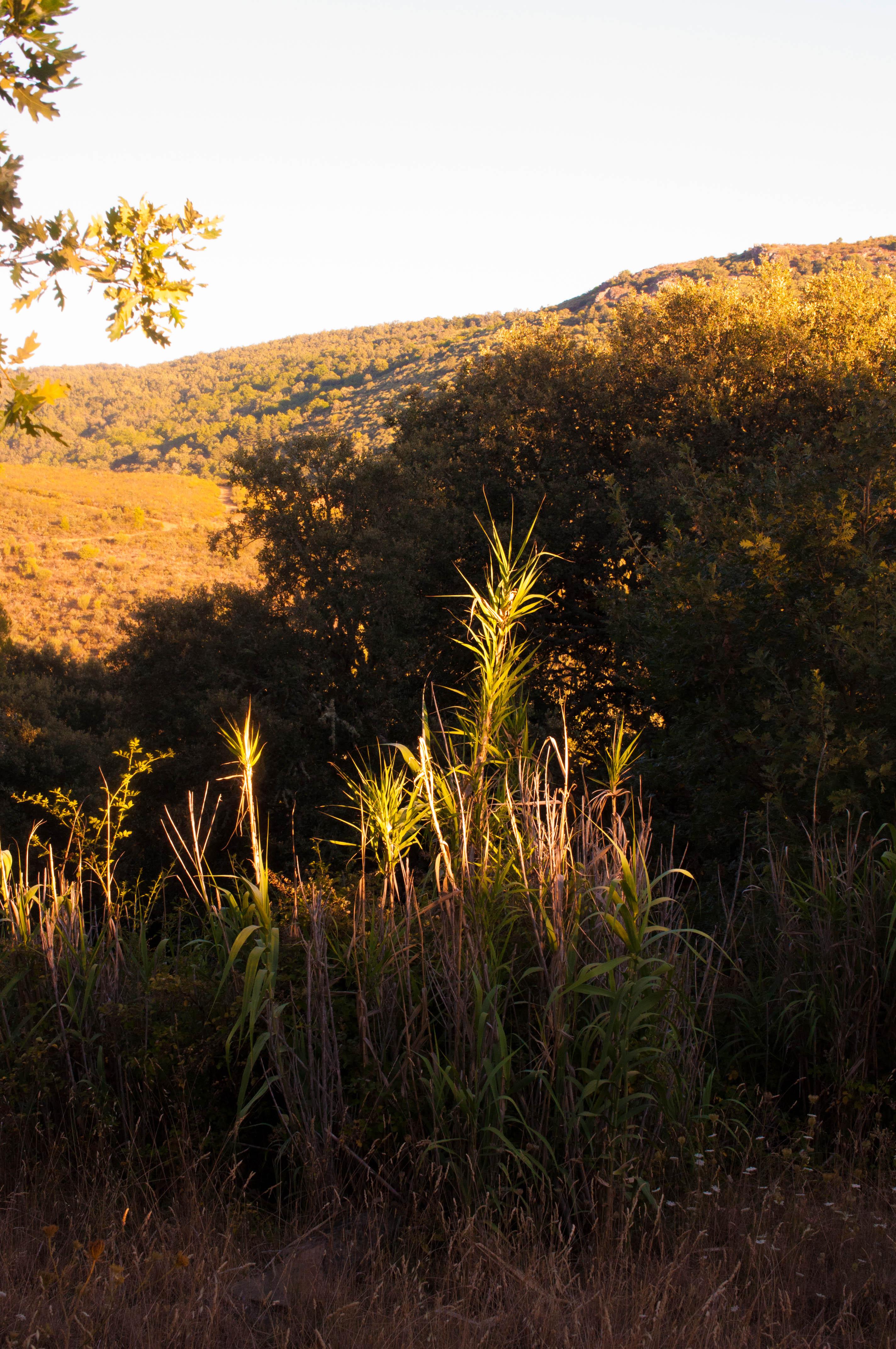 Phragmites australis Las Obreras de Aliste