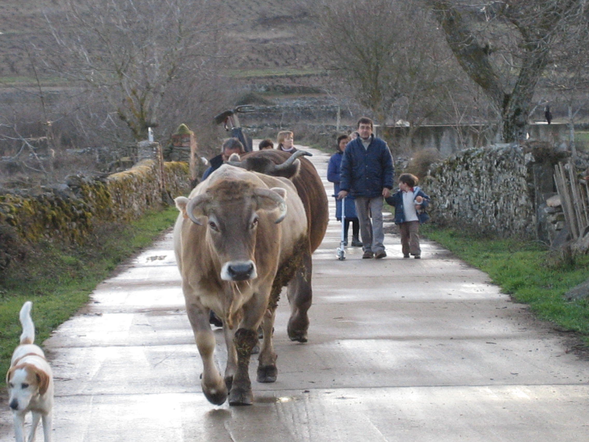 vacas Gallegos del Campo Las Obreras de Aliste