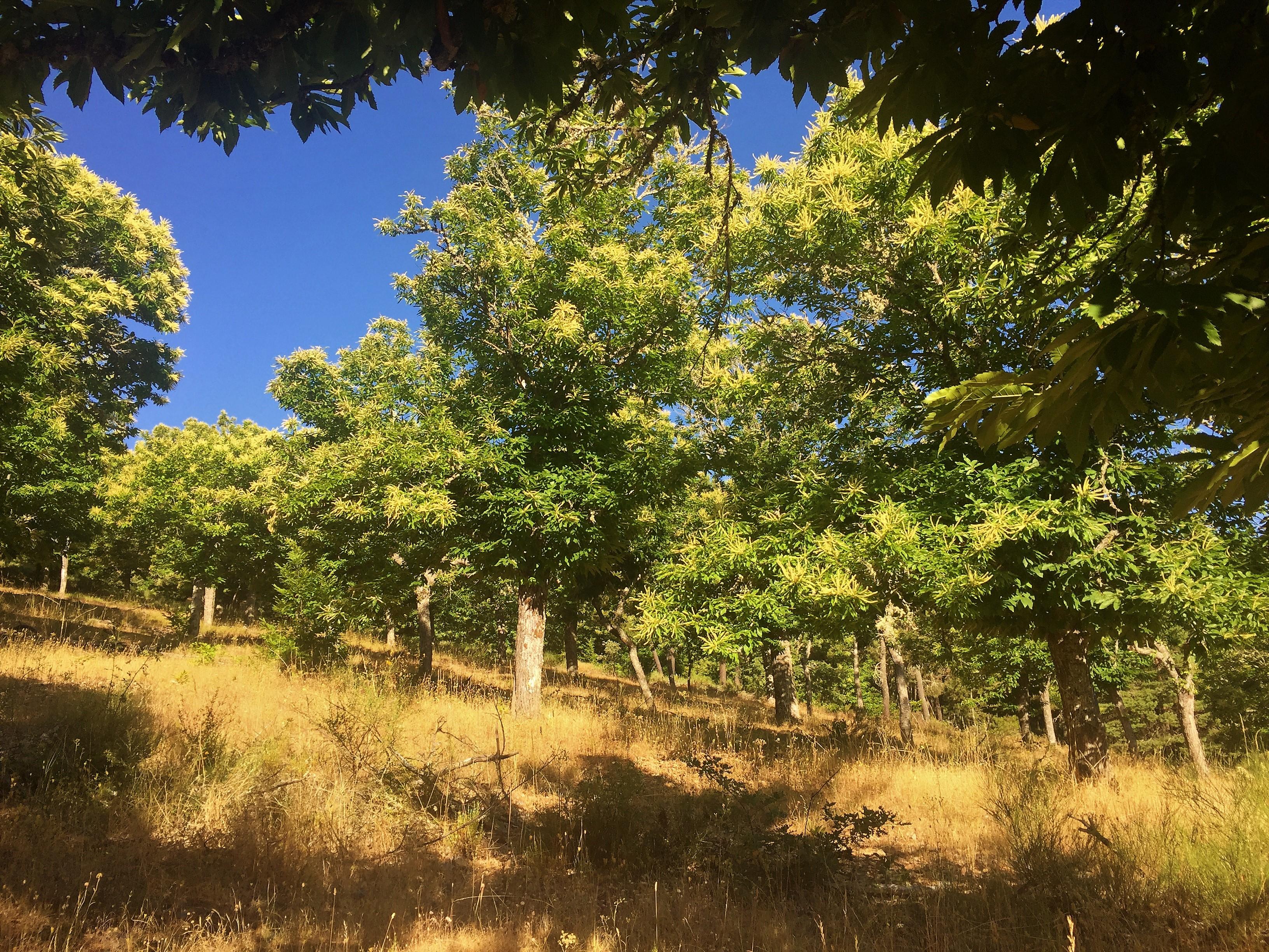 zona de castaños en Gallegos del Campo