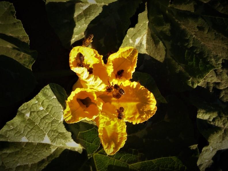 Cucurbita ssp Las Obreras de Aliste
