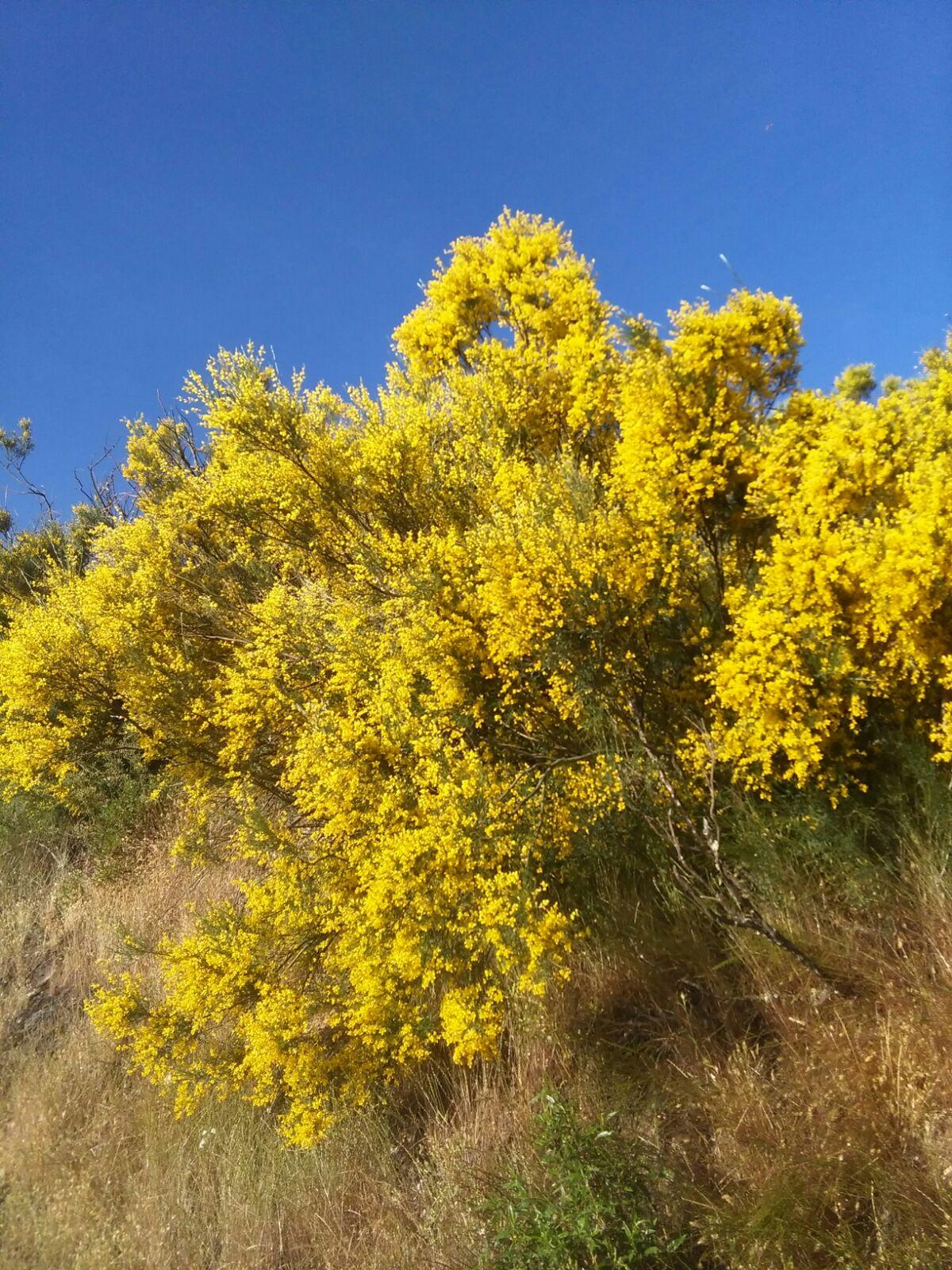 En Gallegos del Campo son numerosos los parajes donde abunda esta planta, destacando el paraje de Bocagundino y de Mazada.