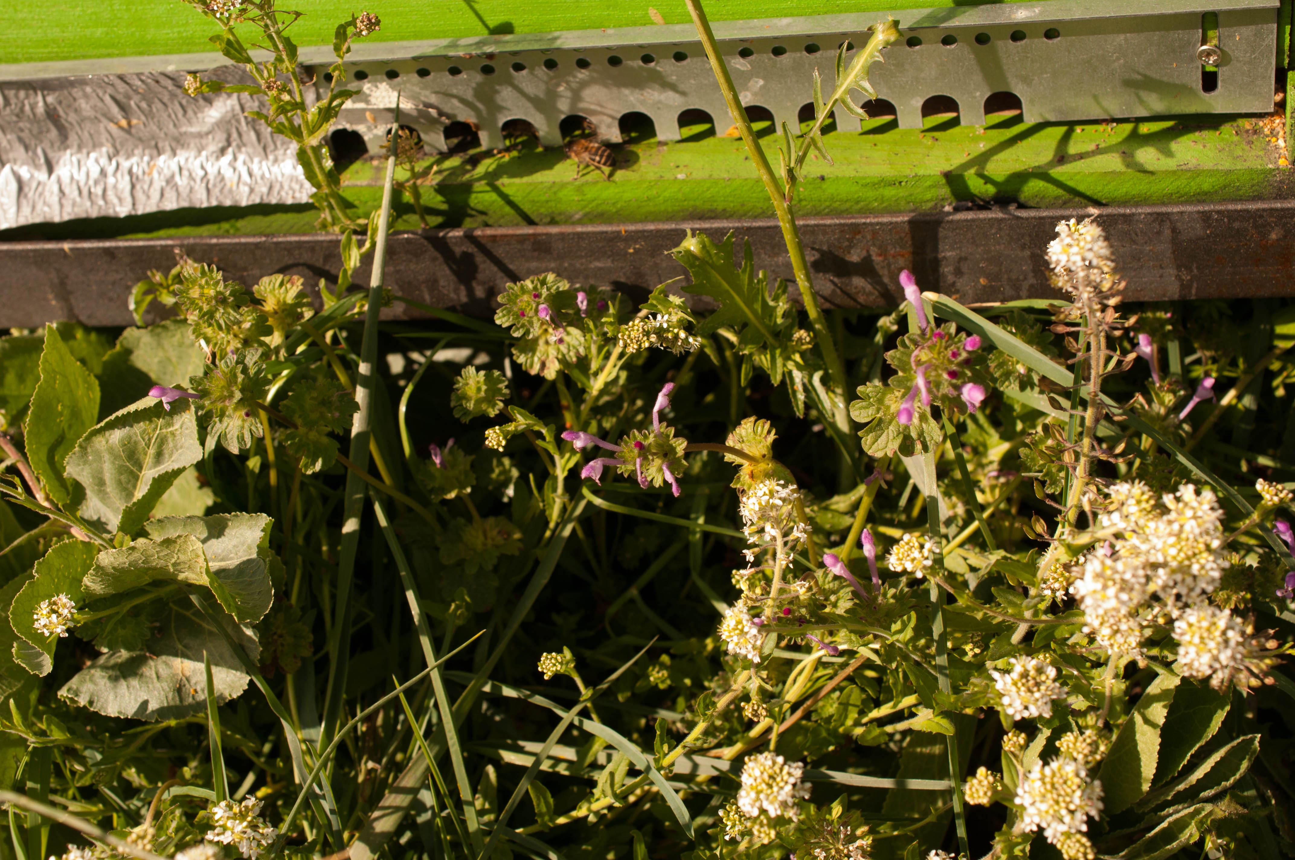 Lepidium campestre y Laminum amplexicaule Las Obreras de Aliste CB Artesanos de la Miel Aliste Gallegos del Campo Artesanos de la Miel