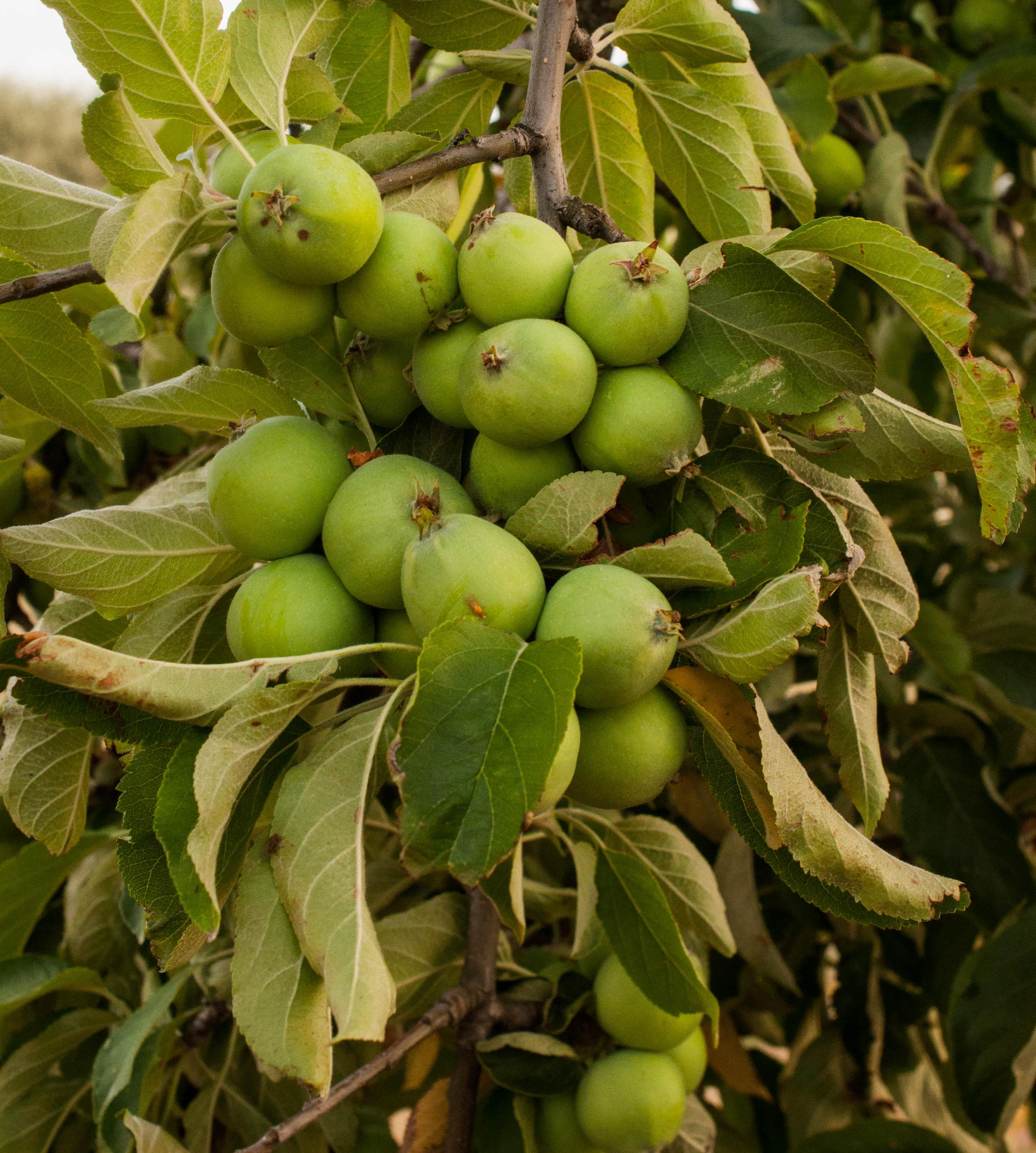 Malus ssp Las Obreras de Aliste